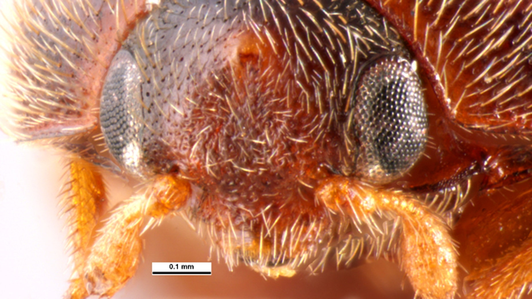 The khapra beetle, one of the world's most destructive invasive insects.