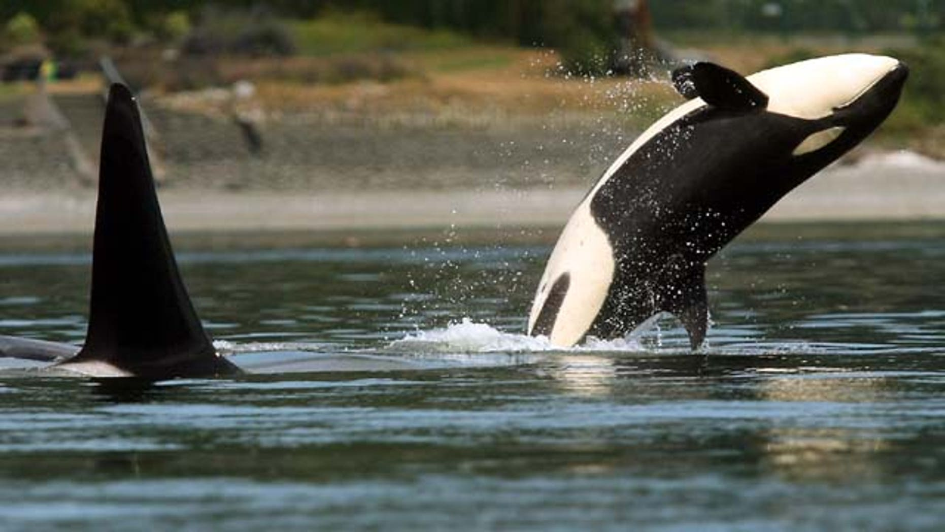 FILE - In this photo taken July 18, 2013, an orca whale breaches as the pod swims through Liberty Bay in Poulsbo, Wash. (AP Photo)