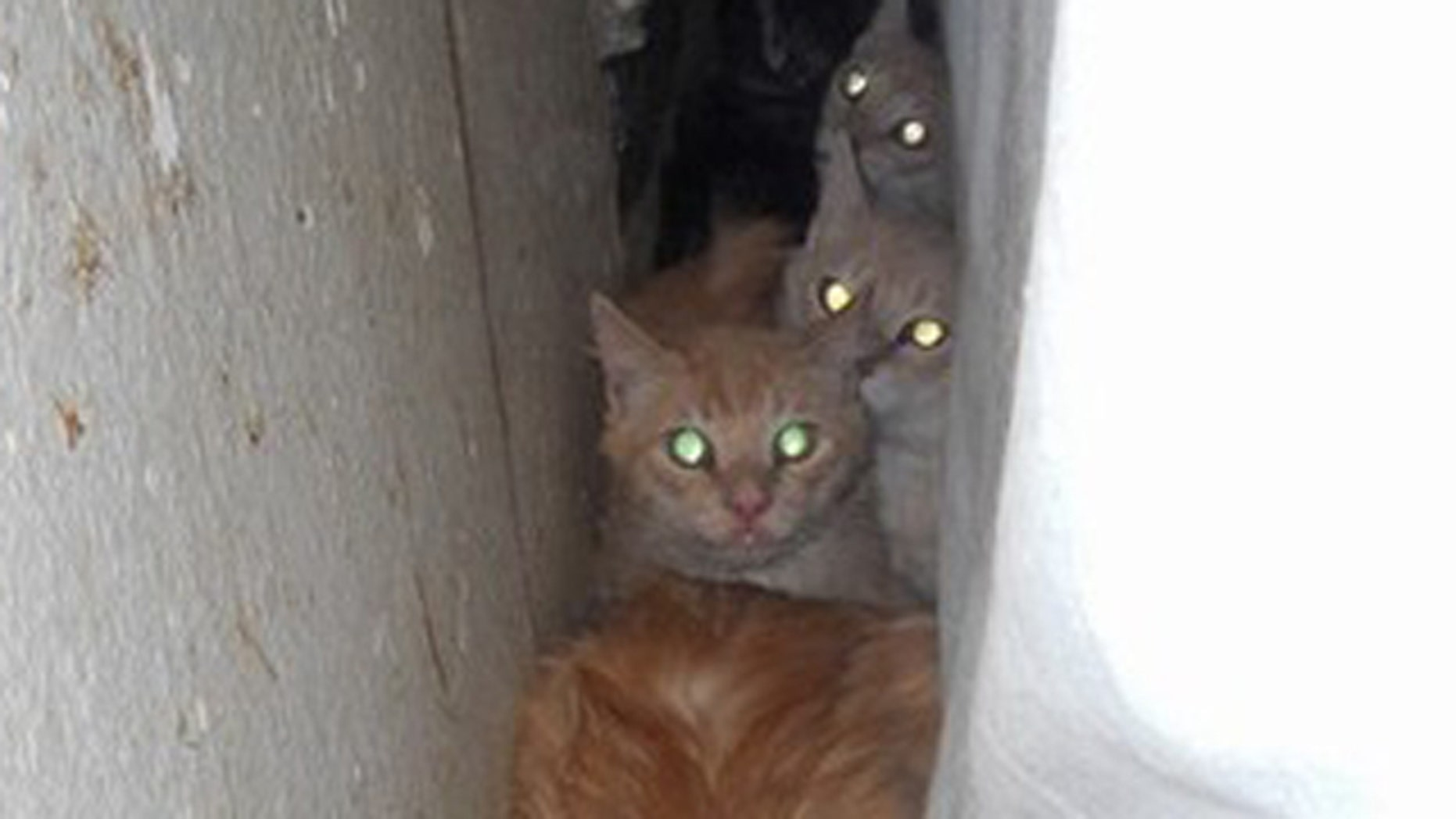 July 24, 2012: A number of cats found during a search and rescued from a home in Seaside, Calif.