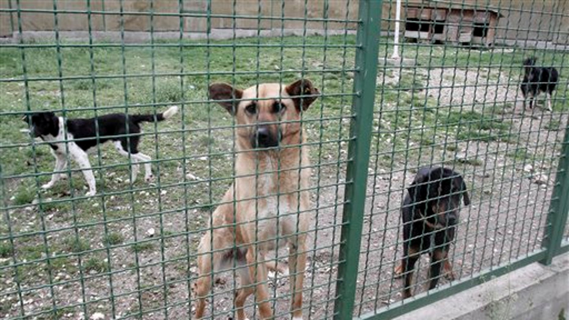 May 4: Street dogs seen at a dog shelter in the village of Harilac, Kosovo, after they escaped the fate of fellow dogs which have become the target of a campaign to cull street dogs in Kosovo. Authorities in Kosovo's capital of Pristina say 190 street dogs have been shot and killed in the first three weeks of a culling campaign that has been harshly criticized by animal lovers, but officials claim the city is plagued by packs of dogs that often attack people.(AP)