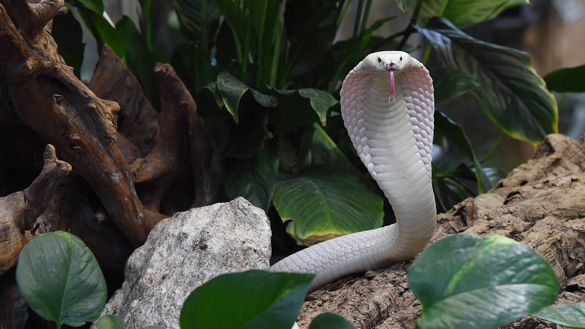 The man, who has not yet been identified, has been hospitalized since his pet pet albino monocled cobra bit him earlier this month.