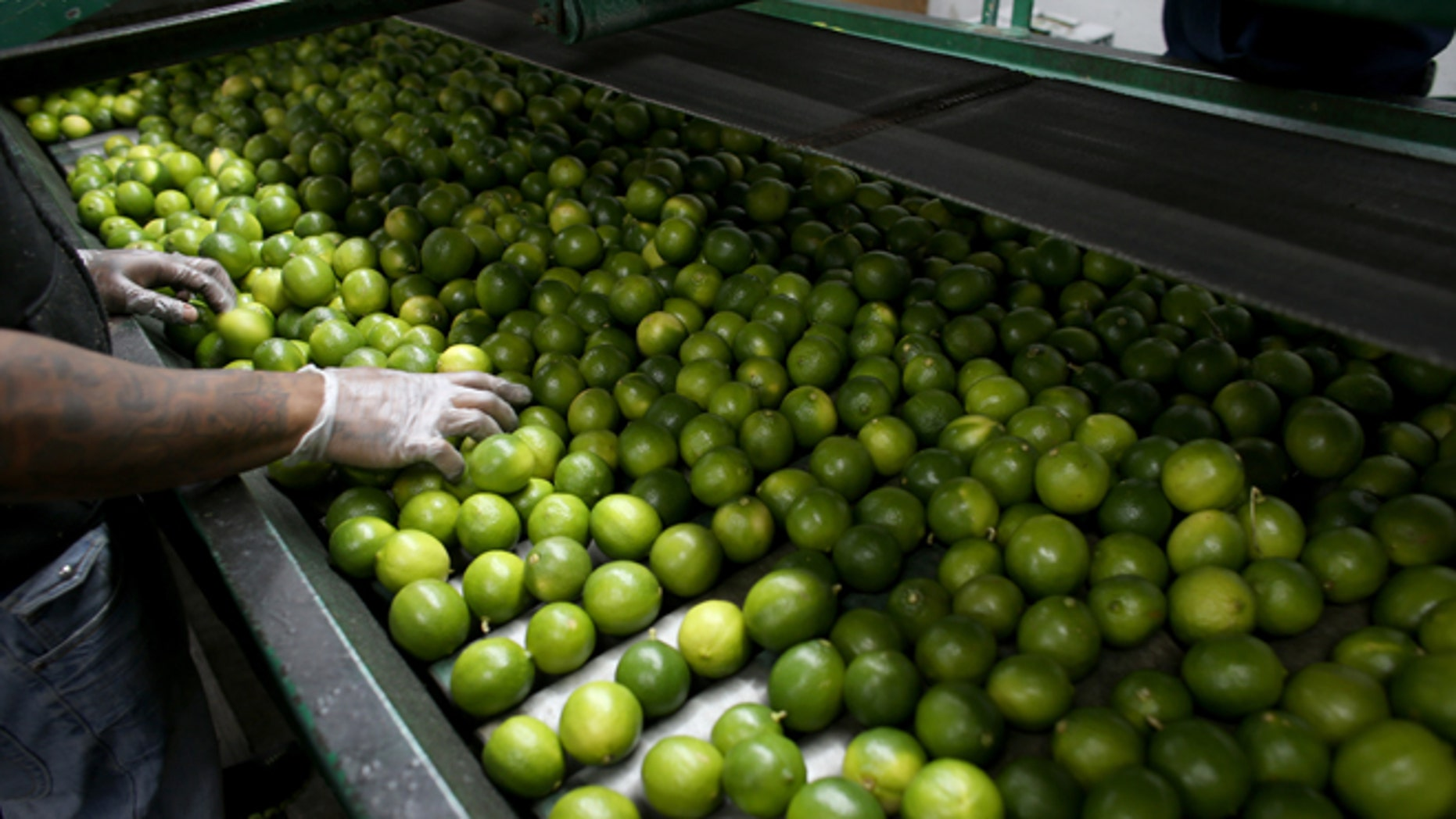 MIAMI, FL - MARCH 26:  Dairoby Aldana sorts limes that have been imported from Columbia at SA Mex produce on March 26, 2014 in Miami, Florida. Samuel Rosales from the produce company said they hadn't received any lime imports from Mexico for the last three days as a tight supply in Mexico has driven up the availability as well as the prices for the citrus in the United States.  (Photo by Joe Raedle/Getty Images)
