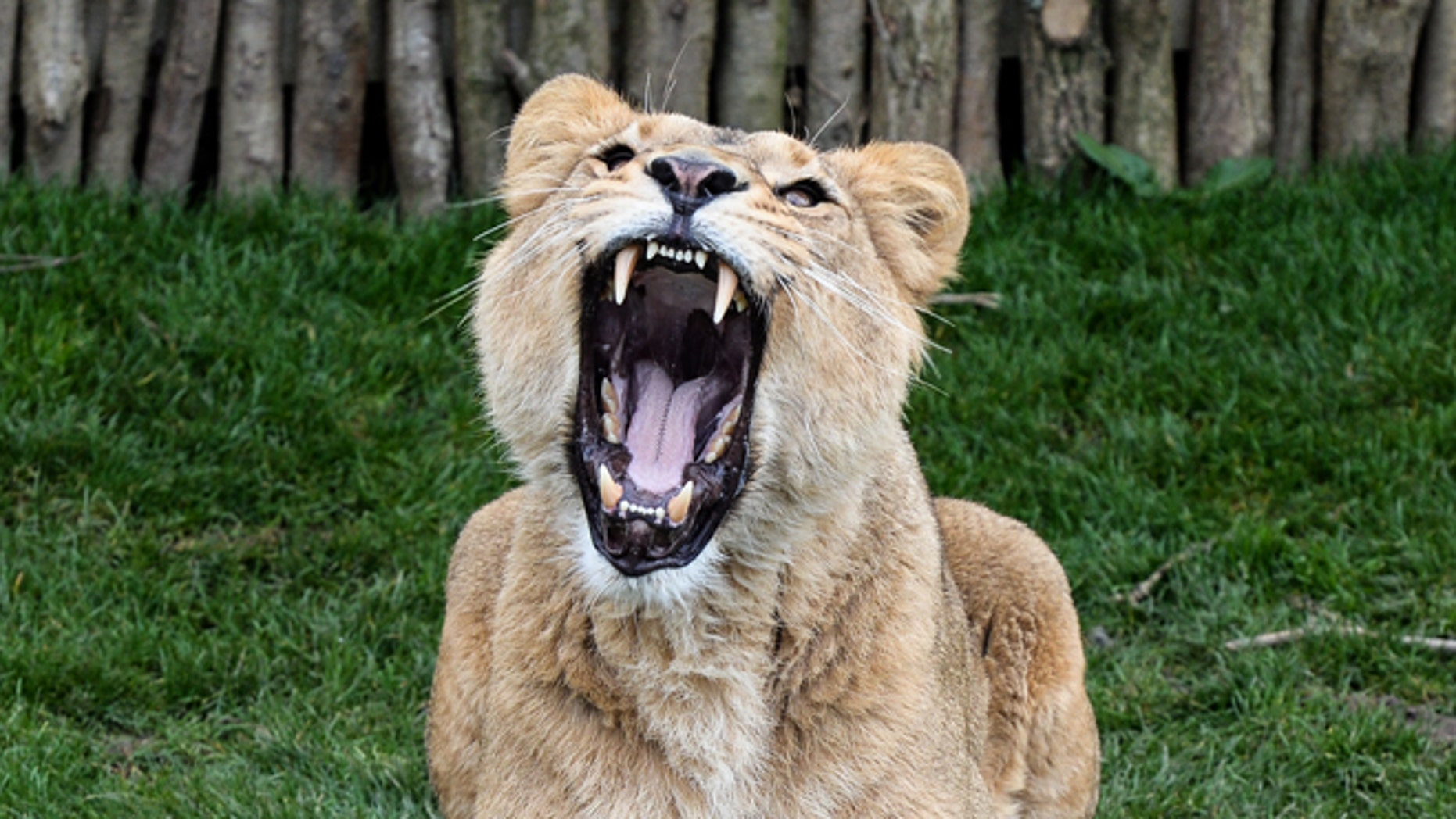 LONDON, ENGLAND - MARCH 16:  Female Asiatic lion Indi, 4, roars as she is fed at the new lion enclosure 'Land Of The Lions' at London Zoo on March 16, 2016 in London, England. The enclosure will be opened by the Queen and is modelled on the village Sasan Gir in Gujarat, India, where lions and villagers live side by side. It is five times the size of the previous enclosure and facilitates for a breeding group of endangered Asiatic lions, of which only several hundred remain in the wild.  (Photo by Chris Ratcliffe/Getty Images)