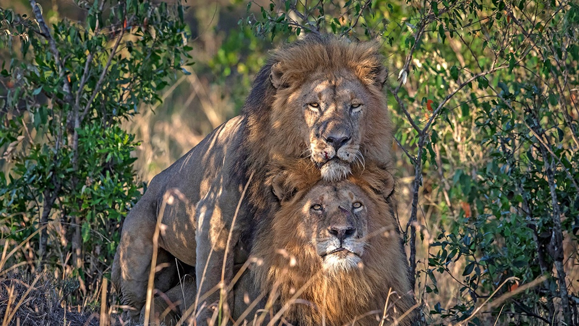 A wildlife photographer captured a stunning image of two male lions in Kenya's Masai Mara.