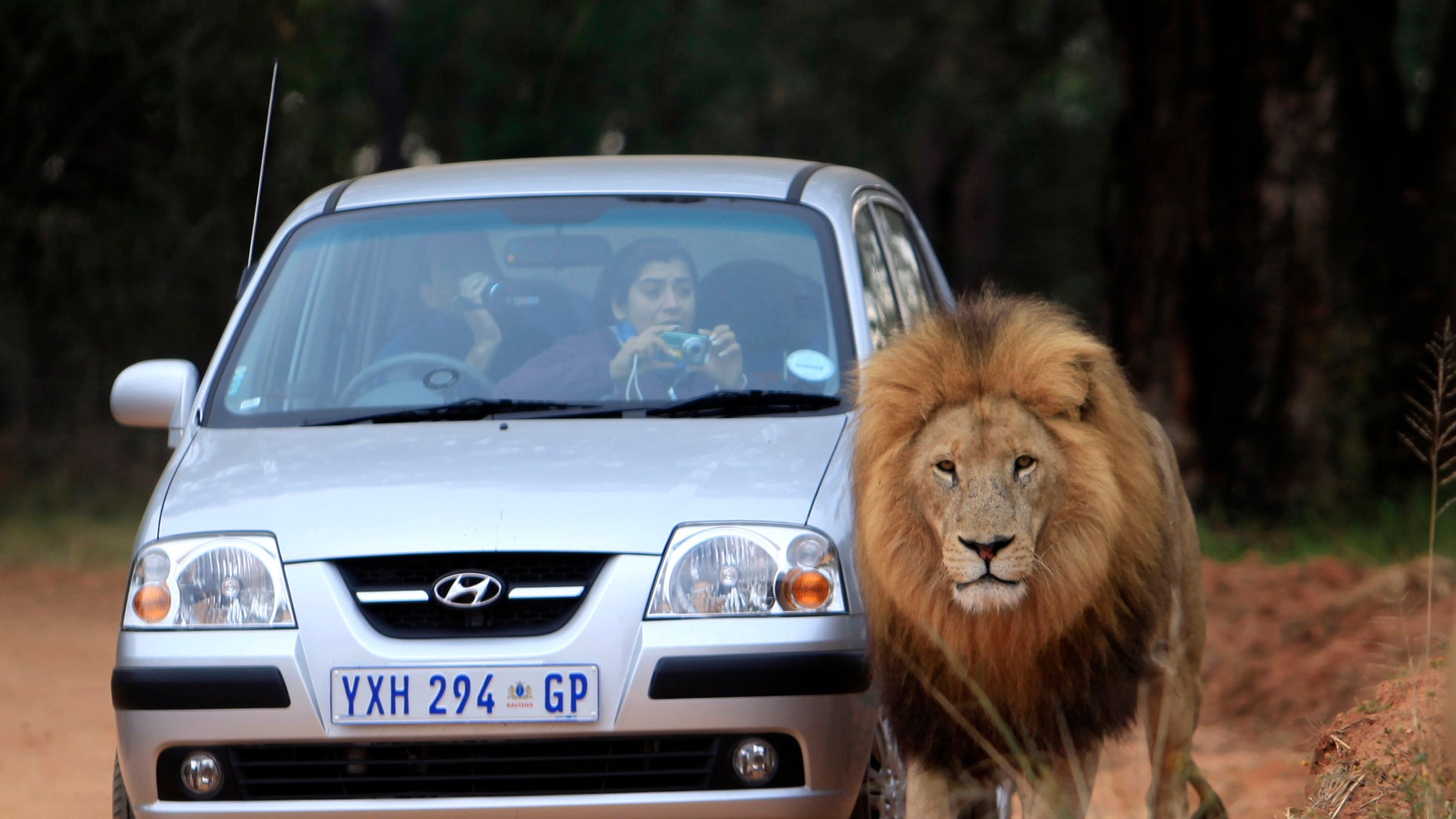 A male lion passes next to a vehicle with Argentinian supporters visiting the Lions Park near Johannesburg, June 10, 2010. REUTERS/Radu Sigheti (SOUTH AFRICA - Tags: IMAGES OF THE DAY ANIMALS SPORT SOCCER WORLD CUP) - RTR2EZJK