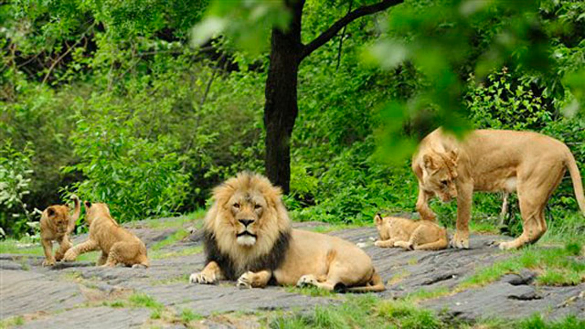 An African Lion couple and their three cubs are seen at the Bronx Zoo in New York.