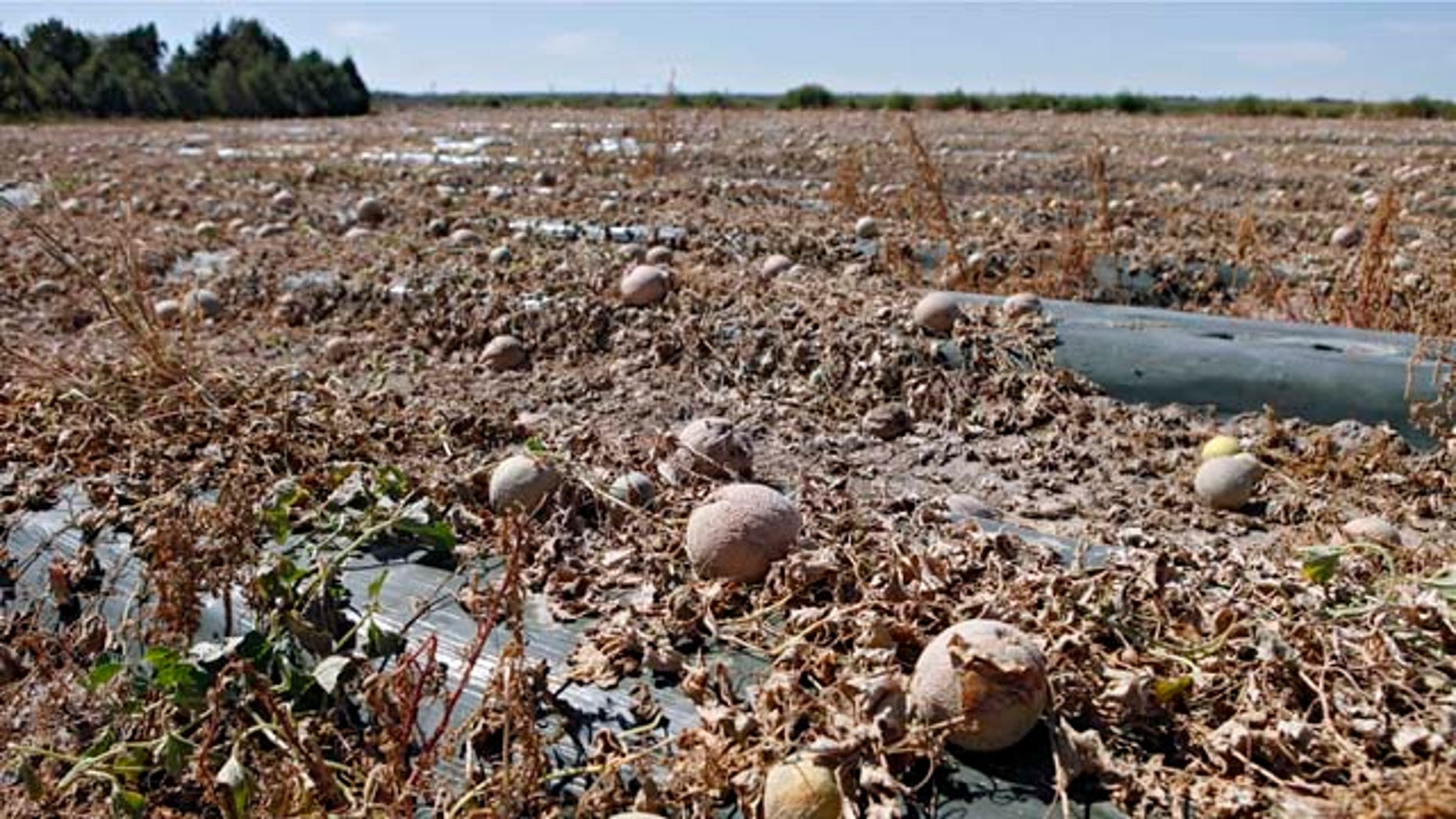 Cantaloupes rot in the afternoon heat on a field on the Jensen Farms near Holly, Colo., on Wednesday, Sept. 28, 2011. Federal health officials said Wednesday more illnesses and possibly more deaths may be linked to an outbreak of listeria in cantaloupe in coming weeks. (AP Photo/Ed Andrieski)