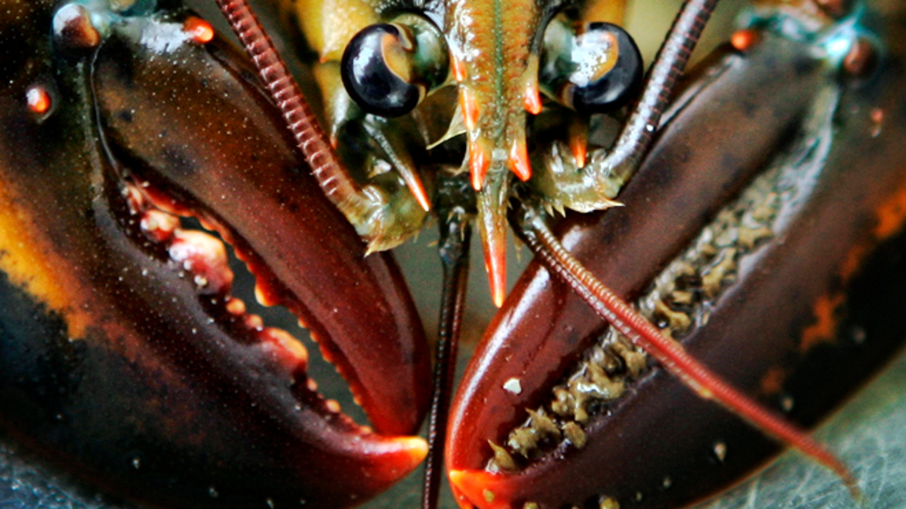 A young lobster is seen on Friendship Long Island, Maine. Scientists have now figured out where the growth rings are to determine the age of a lobster.