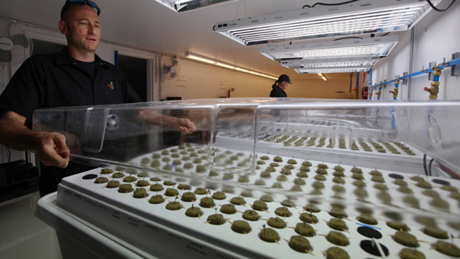 Sept. 24: Jonathan Hunt, a consultant from Denver-based consulting firm Monarch America, puts a cover over marijuana seedlings growing in the germinating facility on the Flandreau Santee Sioux Reservation in Flandreau, S.D.