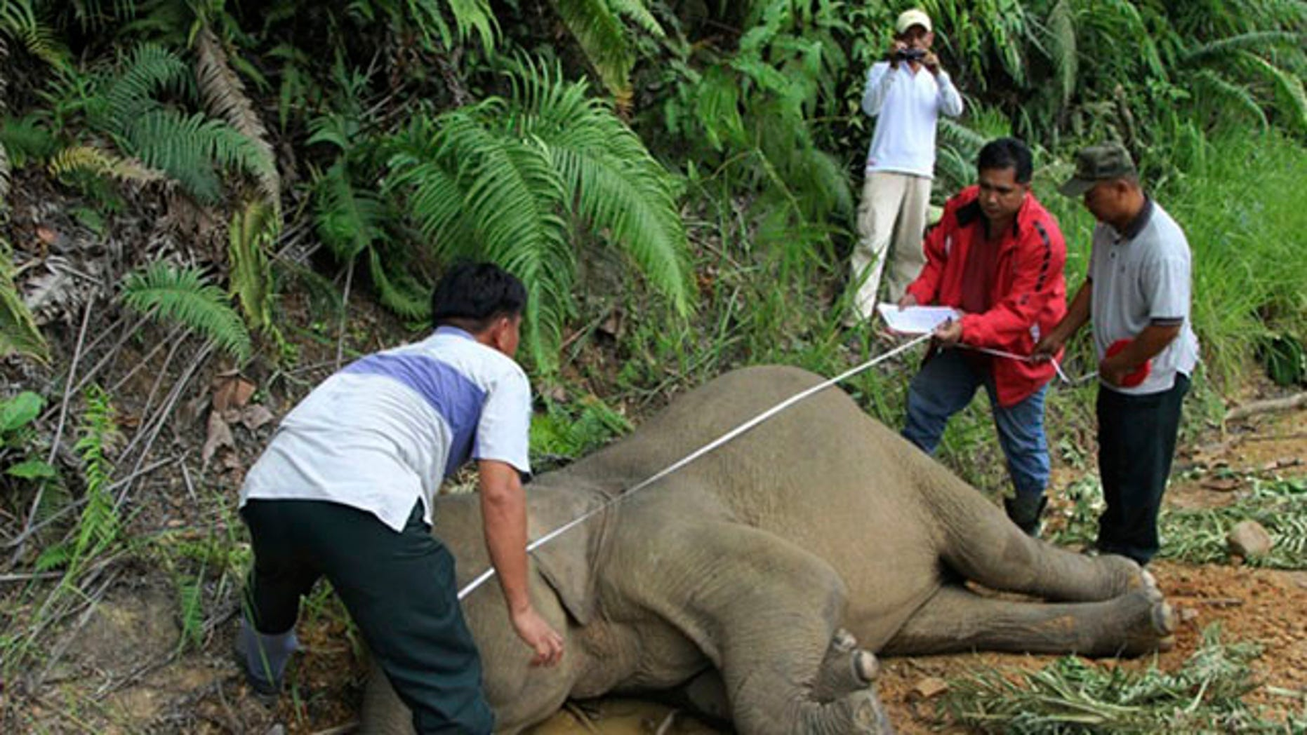Jan. 23, 2013: Malaysian wildlife officials investigate a dead elephant at the Gunung Rara Forest Reserve in Sabah, Malaysia.