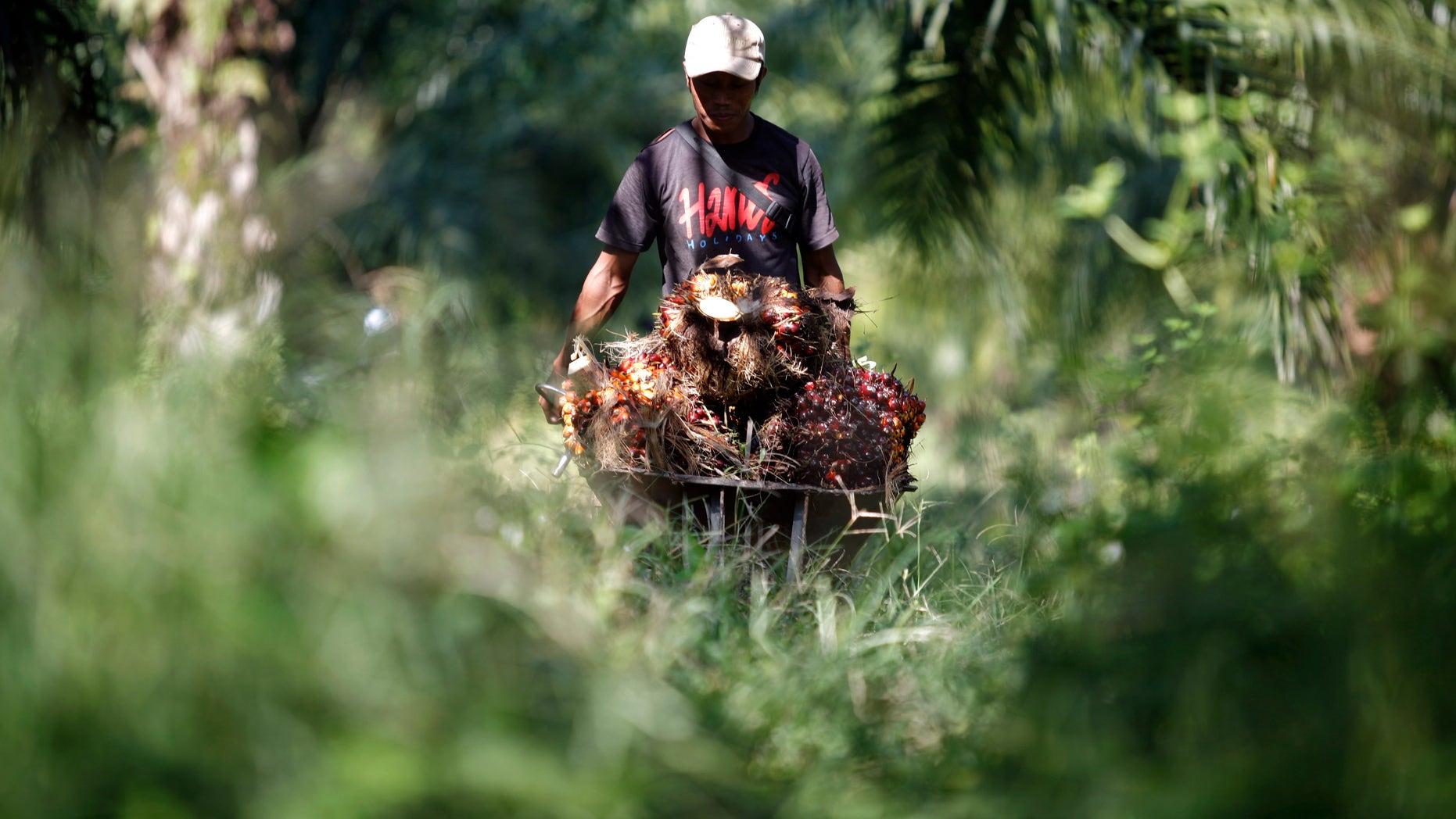 A worker collects oil palm fruits at a plantation in Sepang outside Kuala Lumpur November 3, 2009. (REUTERS/Bazuki Muhammad)