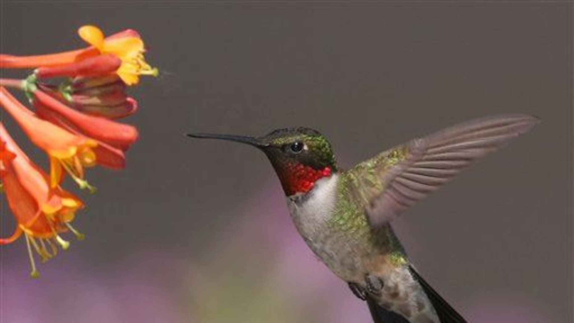 In this June 10, 2008, photo provided by Terry Sohl, a male ruby-throated hummingbird feeds at a honeysuckle plant in Brandon, SD.