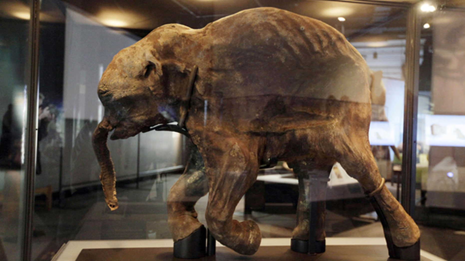 Lyuba, the most complete woolly mammoth specimen ever found, which scientists believe died in Siberia about 42,000 years ago.