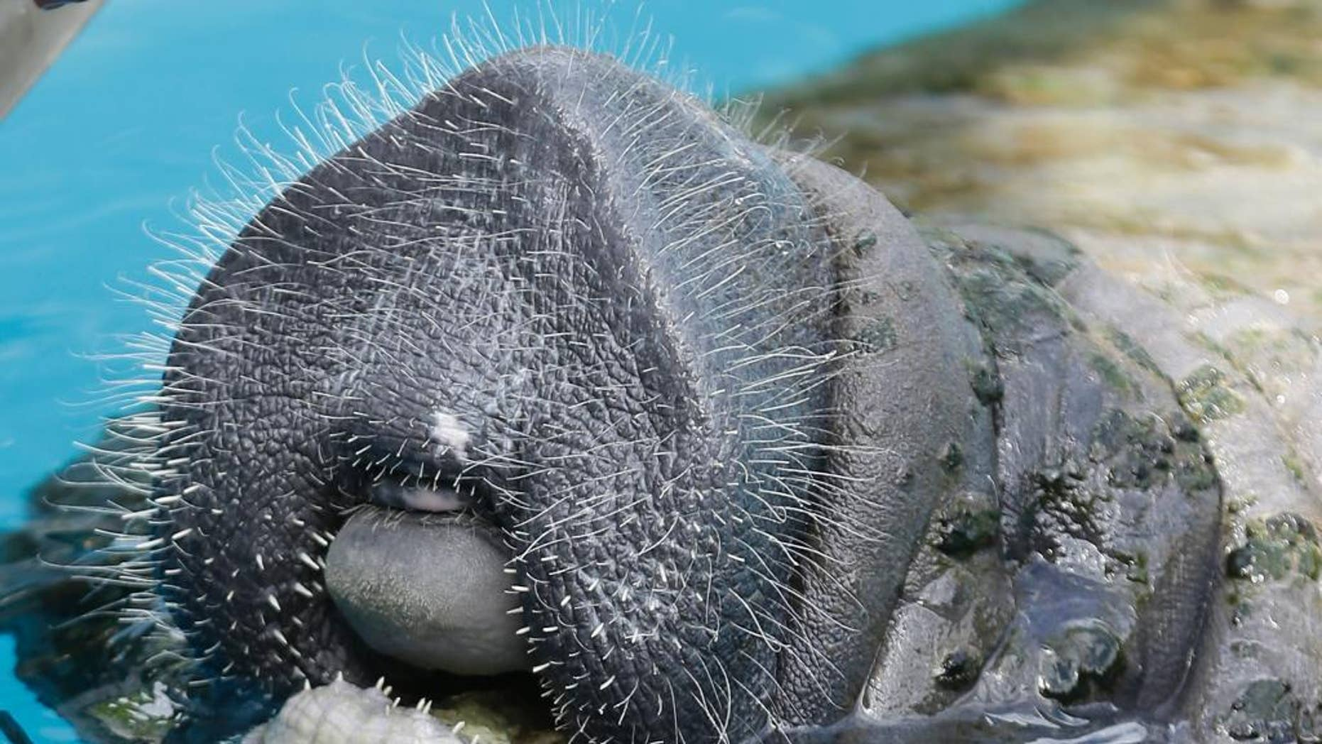 "In this May 15, 2014 photo. a manatee sticks its head out of the water at Miami Seaquarium in Miami.  As manatees recover in Florida, their U.S. home base, more and more seem to be showing up farther west along the Gulf of Mexico. A total of seven stranded manatees had been reported along the Alabama coast before 2007, when a network to report strandings and sightings was created. Since then, ""we've responded to dozens"" of strandings, said Ruth Carmichael, head of the Dauphin Island Sea Lab's Manatee Sighting Network for Alabama and Mississippi. (AP Photo/Wilfredo Lee)"