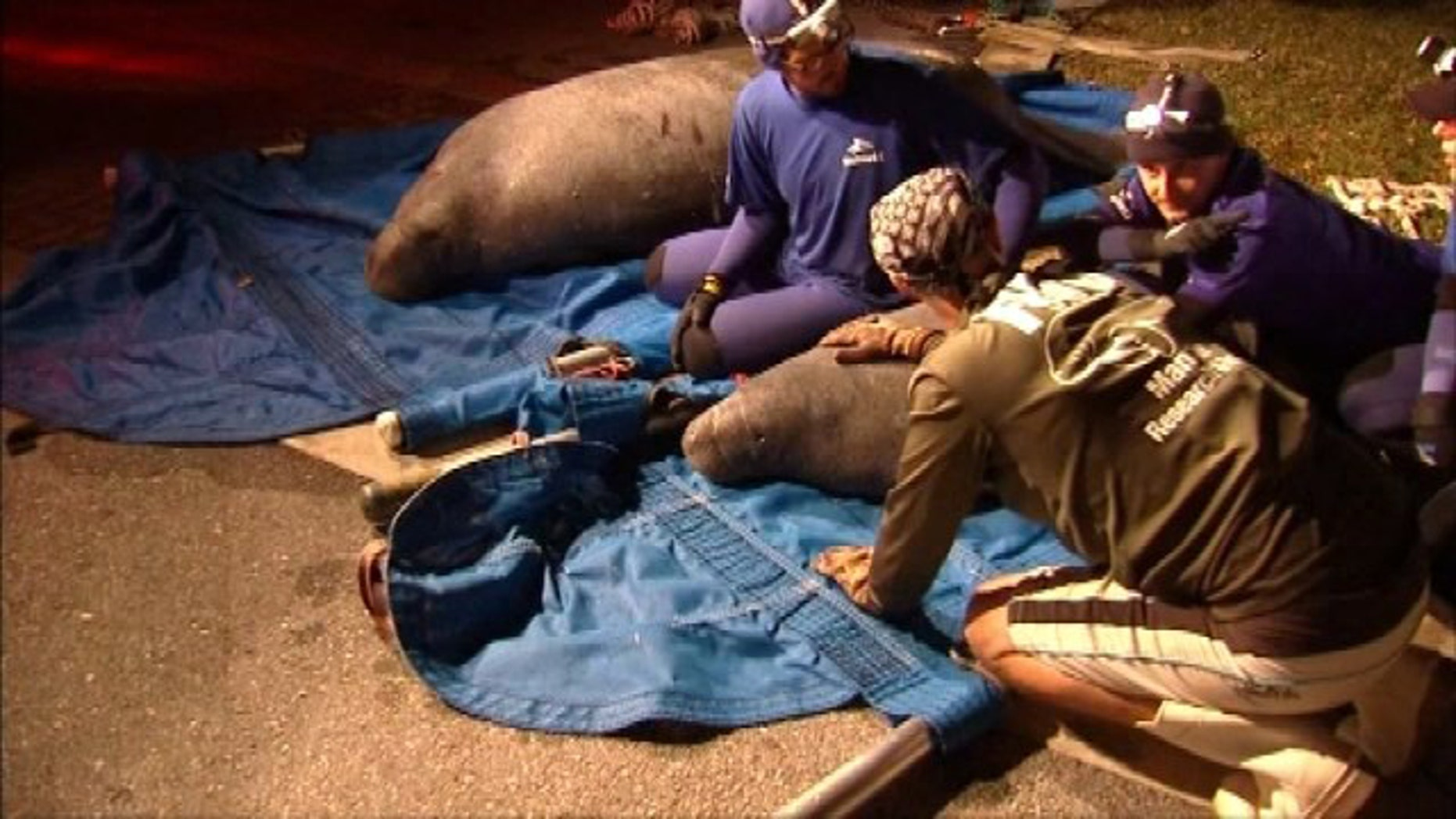 Feb. 23, 2015: Rescue workers sit with two manatees freed from a drainage pipe in Satellite Beach, Fla. (Courtesy MyFoxOrlando.com)
