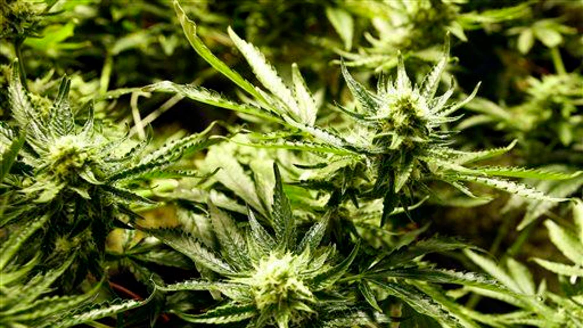 A marijuana plant. Researchers say those who indulge might get paranoid.