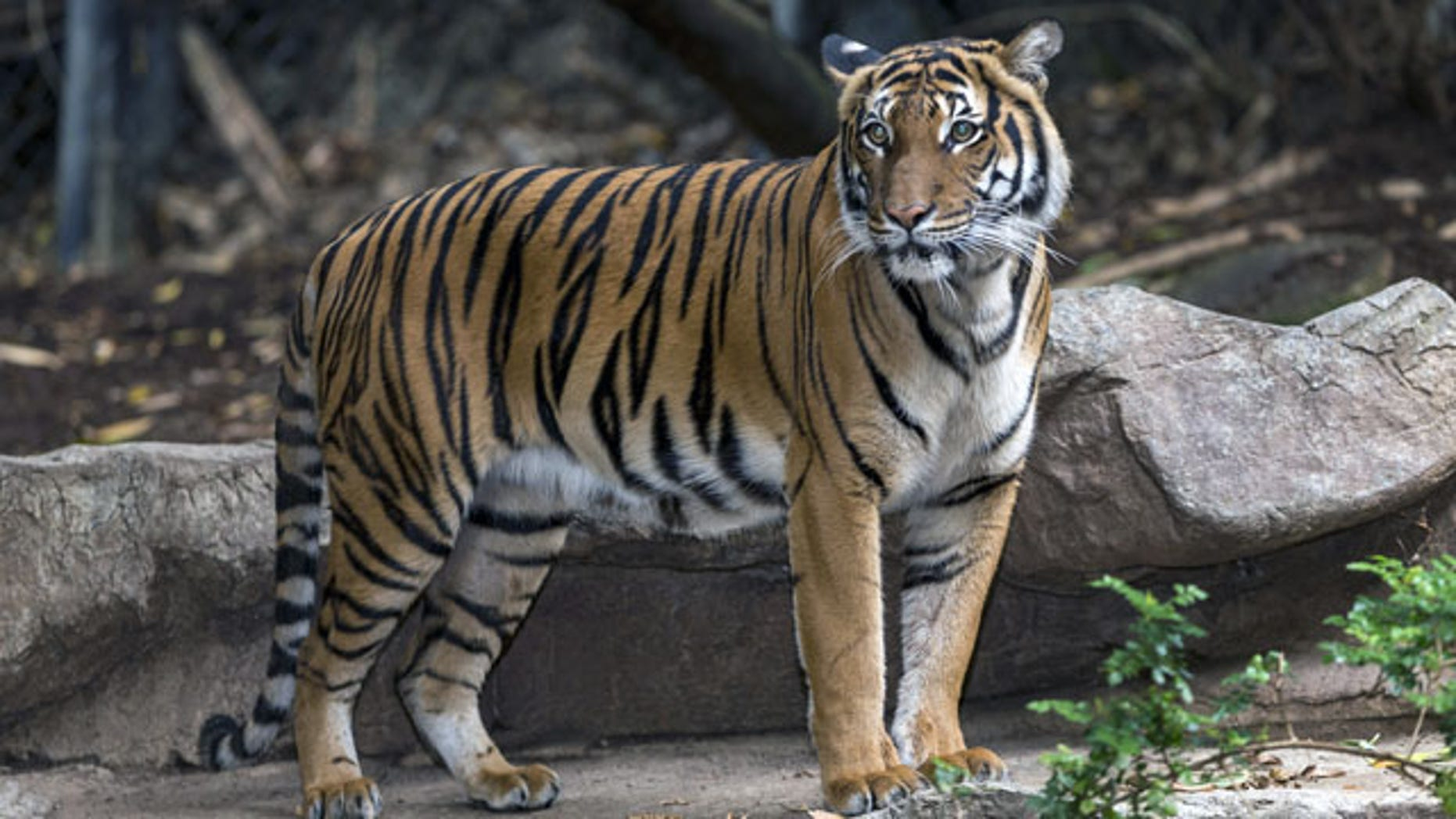 This undated photo released by the San Diego Zoo shows a female Malayan tiger named Tiga Tahun in her habitat at the San Diego Zoo. The zoo said Monday Dec. 23, 2013, that Tiga, died Saturday of neck injuries and breathing difficulties after being mauled by a male tiger. (AP/San Diego Zoo)