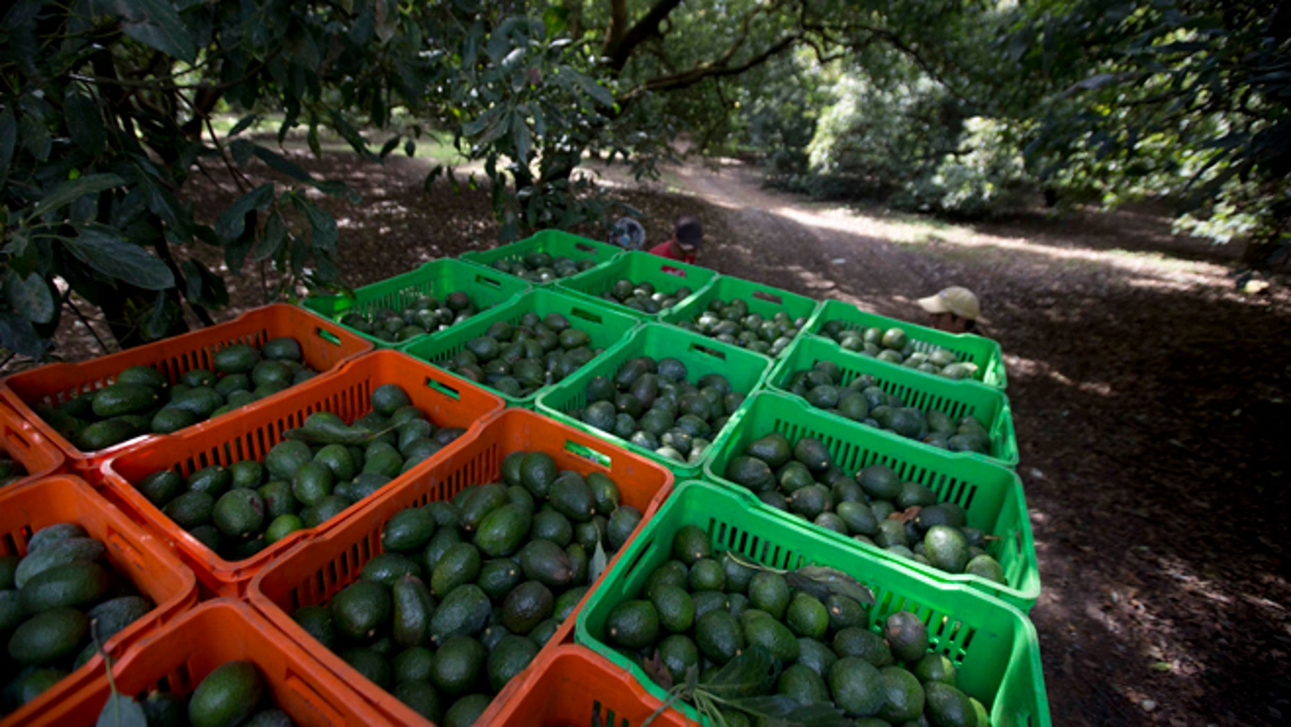 Avocado boxes are collected in an avocado orchard in Michoacan, Mexico.
