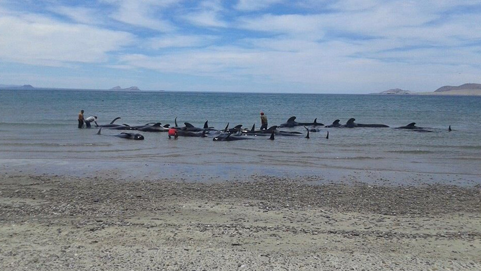 In this image released by Mexico's Secretary of the Navy on May 15, 2016, soldiers and villagers try in vain to move beached whales into deeper waters in a beach known as Playa Bufeo, near Ensenada in Mexico's Gulf of California. Mexicoâs Navy said in a statement Sunday that its personnel along with soldiers, agents of the environmental ministry and local fishermen worked Saturday and into Sunday trying to save the whales but ultimately, of the 27 that came ashore, only three were saved. (SEMAR via Associated Press)