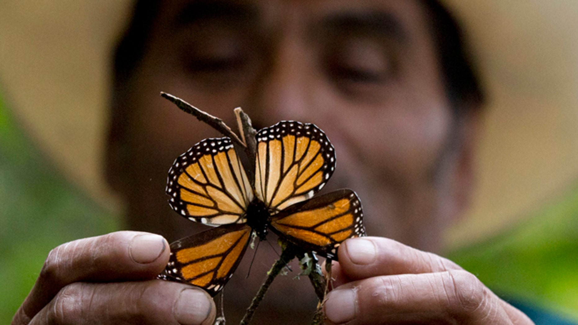 CORRECTS DATE  - In this Nov. 12, 2015, file photo, a guide holds up a damaged and dying butterfly at the monarch butterfly reserve in Piedra Herrada, Mexico State, Mexico. Storms caused a big spike in the number of trees blown down or lost to heavy branch damage in forests where migrating monarch butterflies spend the winter in central Mexico, experts reported Tuesday, Aug. 23, 2016. (AP Photo/Rebecca Blackwell, File)