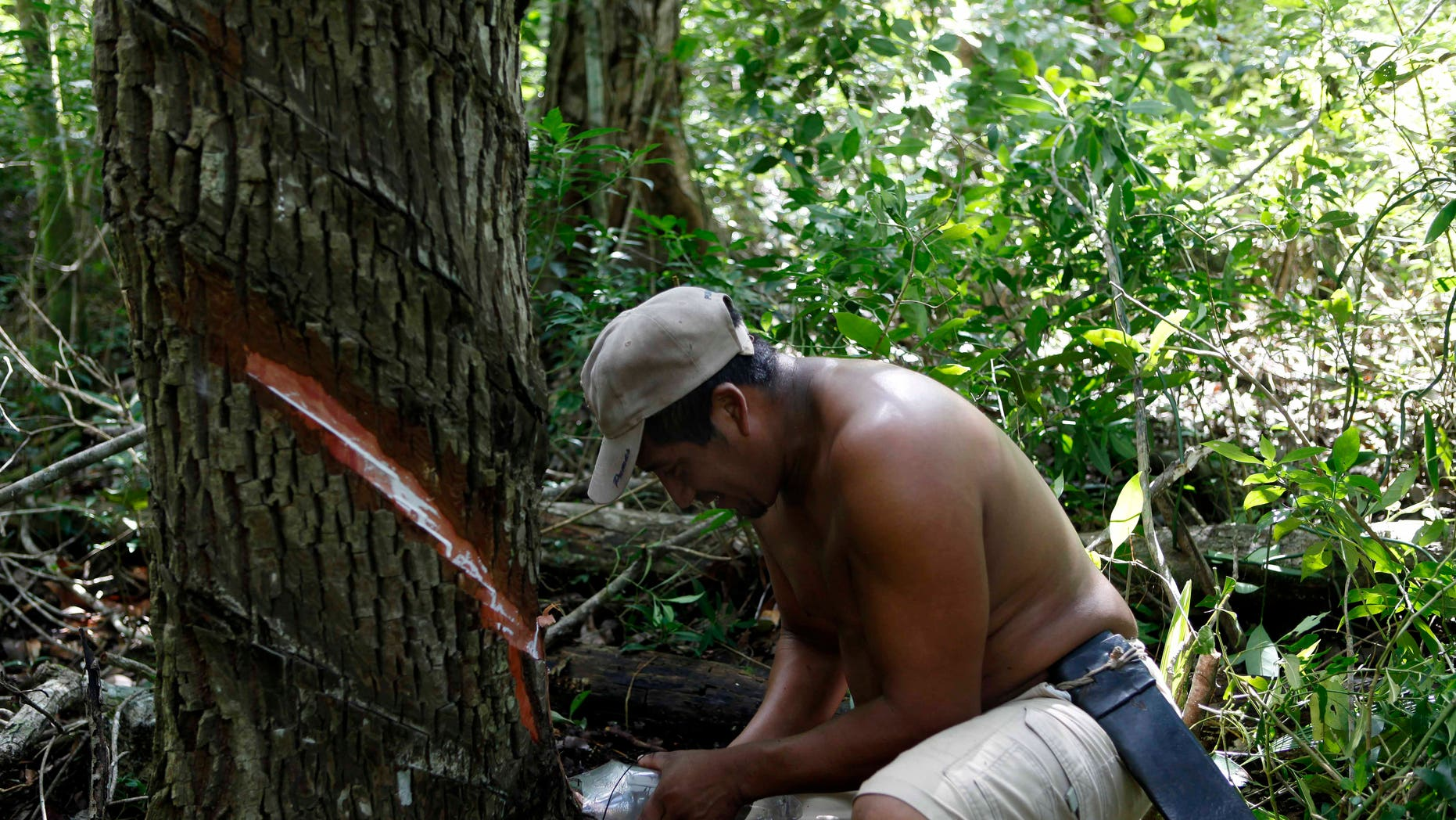 Mayan Indian Pedro Chuc May shown here on Nov. 30 collects sap from a tree known as 'gum tree', to produce handcrafted chewing gum in Betania, Mexico. The annual UN Climate Change Conference discussed slowing deforestation.