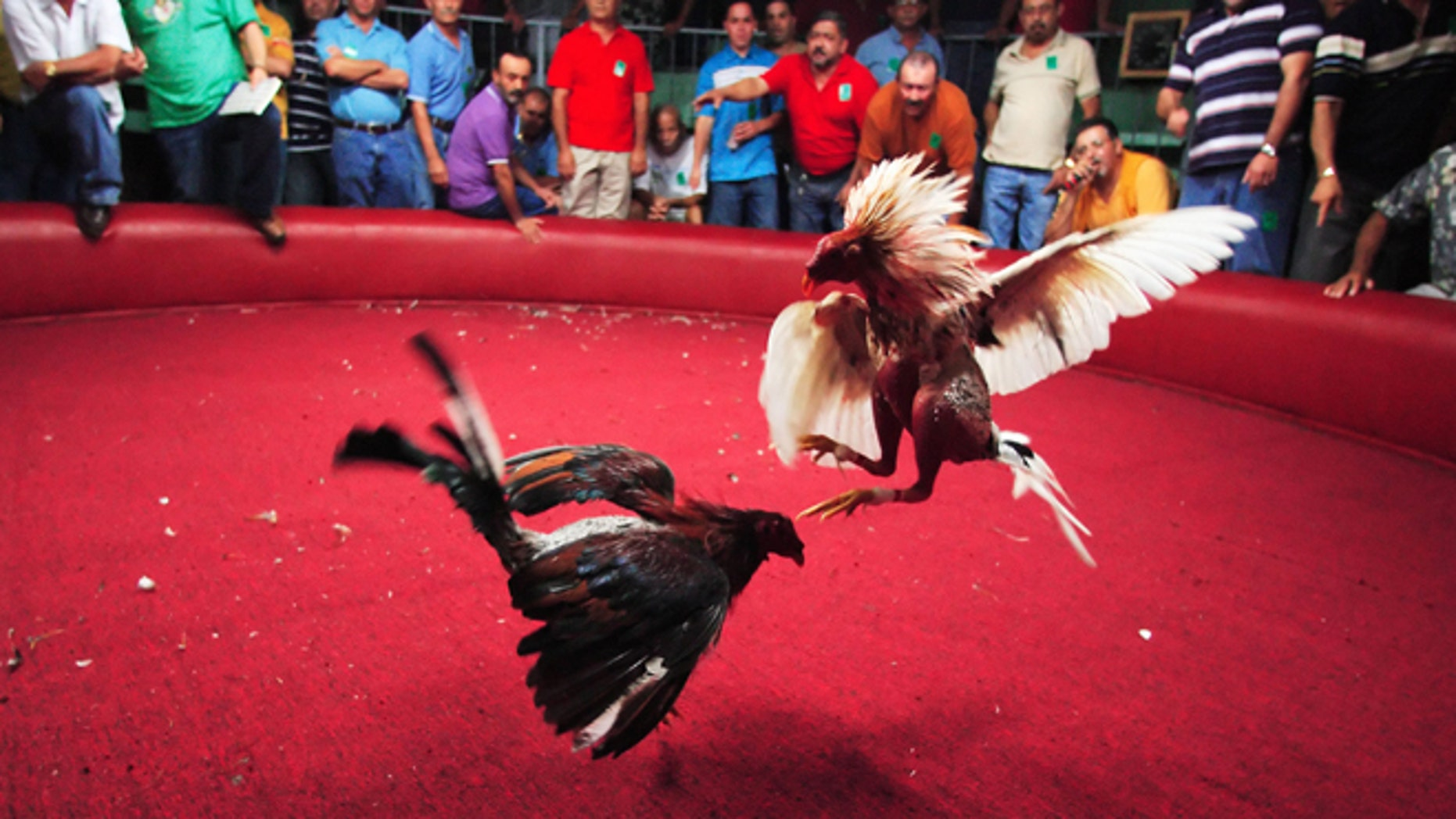 """BARRANQUITAS, PUERTO RICO - NOVEMBER 11, 2006: Spectators cheer on the Fighting Roosters  on opening night of the Cockfighting season at the Coliseo Central De Barranquitas on November 11, 2006 in Barranquitas, Puerto Rico.  Heavy betting between the fans are made before and during the fights.  Most of the time multiple bets are made by one person of up to several thousand dollars. all bets are paid off in cash at the end of each fight.  Cockfighting, or """"peleas de gallos,"""" is a legal sport in Puerto Rico, unlike in the United States where some states have made it a felony.  (Photo by Al Bello/Getty Images)"""