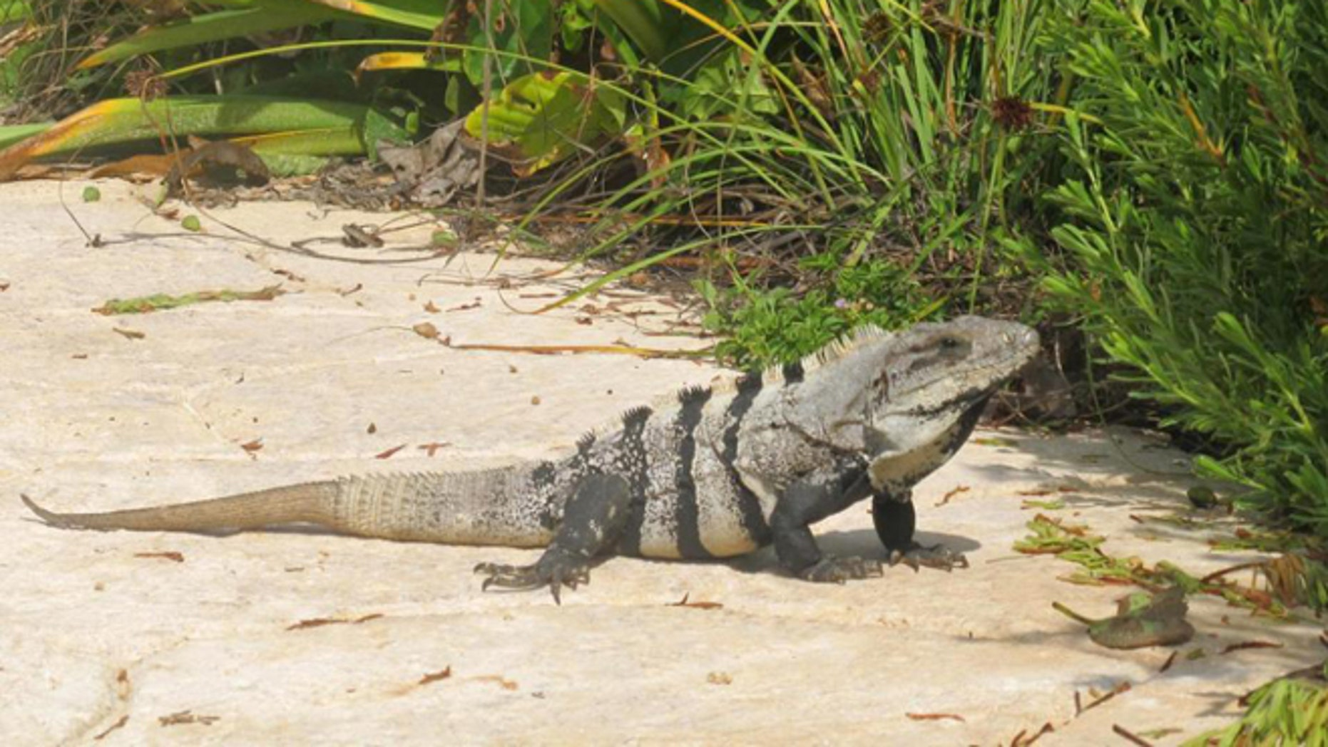 FILE - This Nov. 2012 file photo shows an iguana basking in the sun on the Isla Mujeres, Mexico. Mexican environmental authorities announced on Tuesday, May 12, 2015 they seized gallons of stew made of Mexican spiny-tailed iguanas at a restaurant in the township of Jojutla, in southern Morelos state, a species considered protected and threatened in Mexico. (AP Photo/Amanda Lee Myers, File)