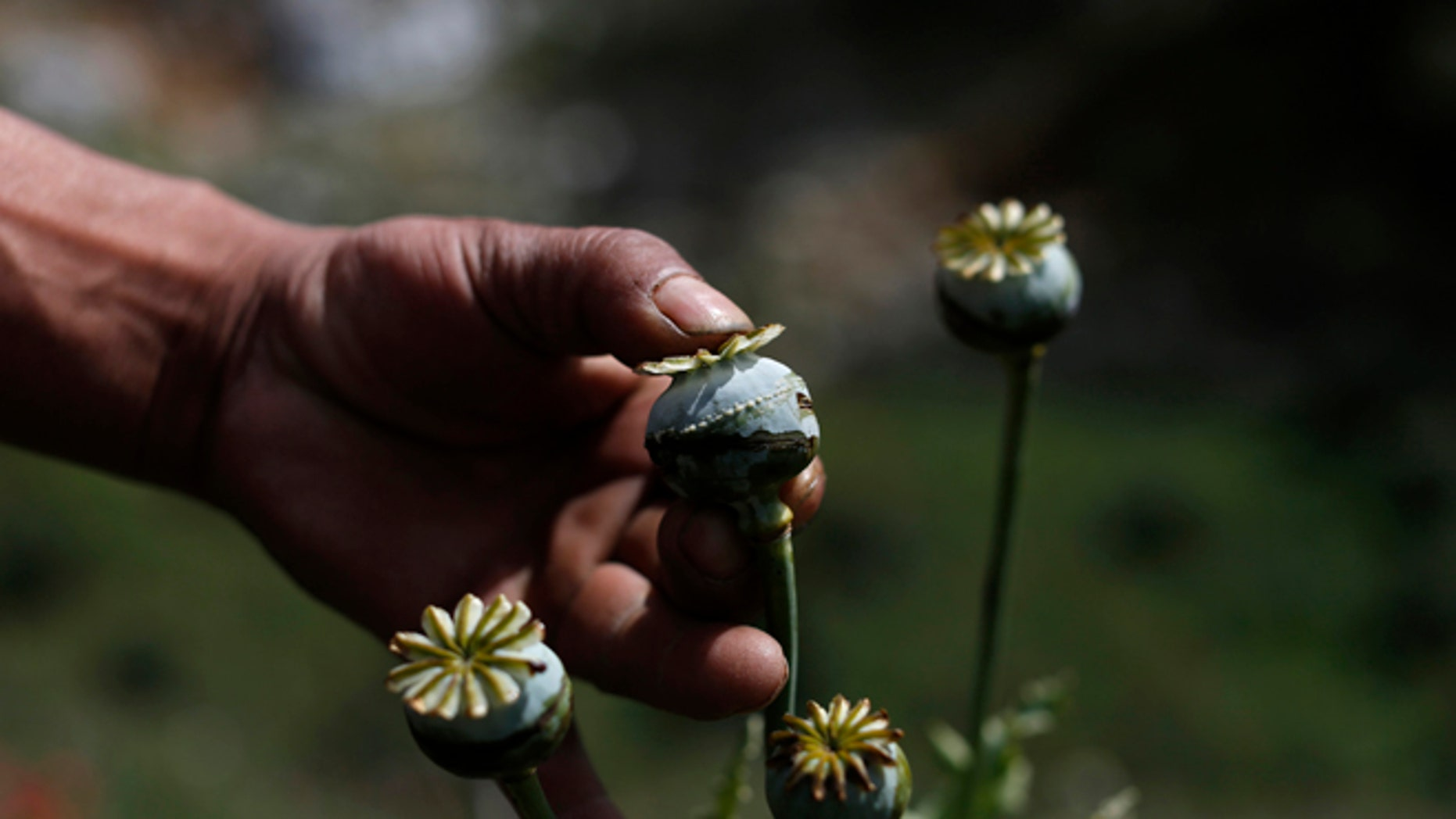 "FILE - In this Jan. 26, 2015 file photo, an opium grower shows how he ""milks"" a poppy flower bulb to obtain opium paste in the Sierra Madre del Sur mountains of Guerrero state, Mexico. Violence continues in Iguala because the town's most lucrative business still thrives: the opium trade. The city sits halfway between Mexico City and Acapulco in the state of Guerrero, surrounded by steep mountains where farmers milk fields of poppies for opium paste. (AP Photo/Dario Lopez-Mills, File)"