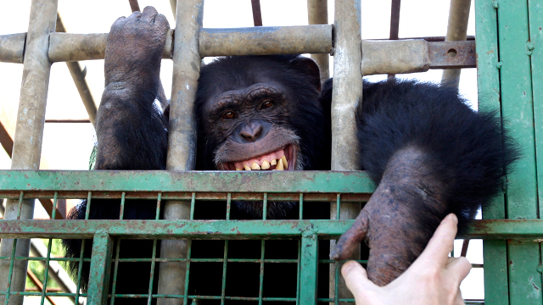 Omega, a 12-year-old chimpanzee, bares his teeth through his cage in a zoo in the southern Lebanese village of Ansar on Monday, Nov. 8, 2010. In his younger years, the chimp was used in one of the local restaurants to entertain people and was made to smoke cigarettes and serve water pipes to customers.