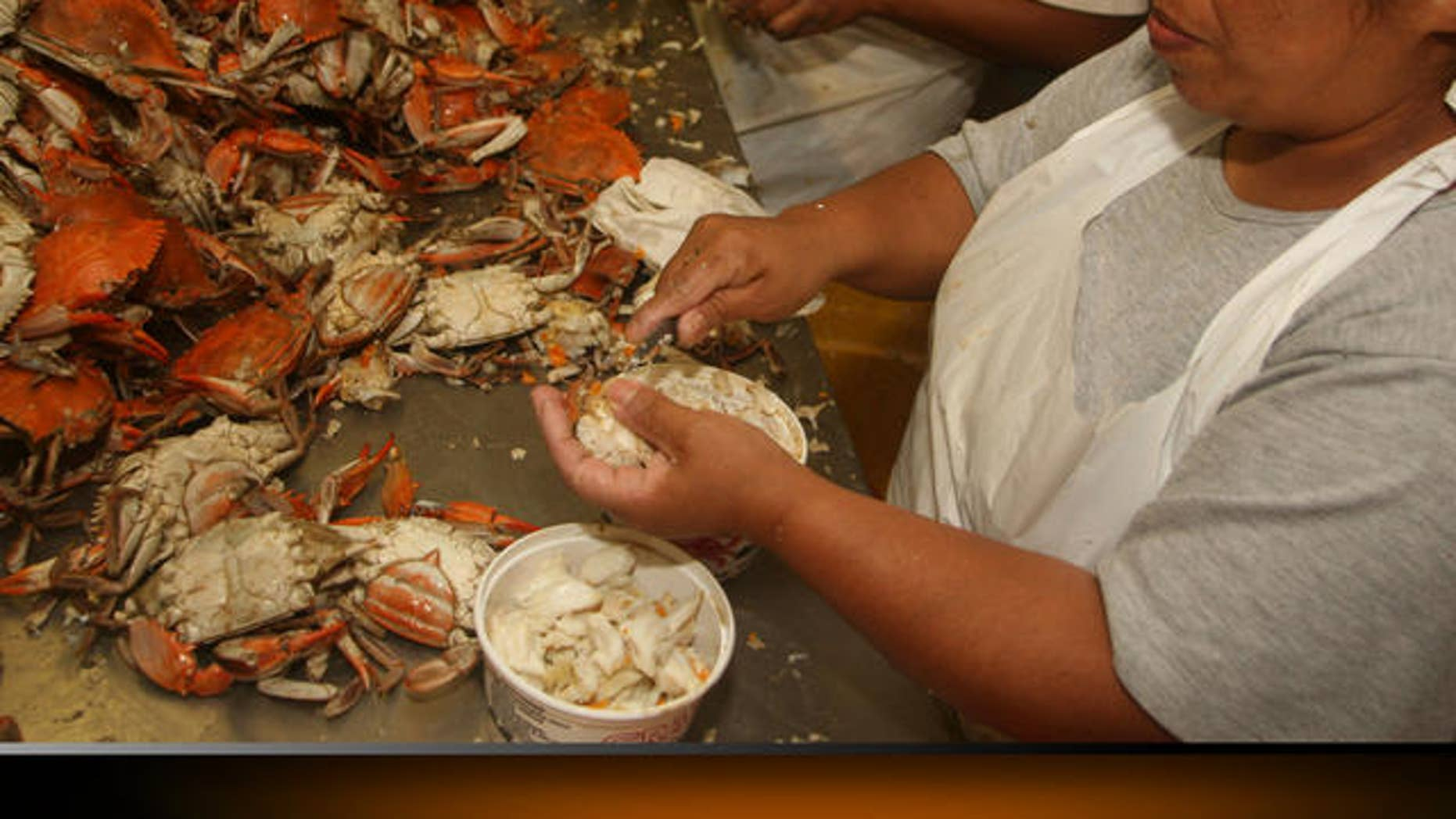 ** ADVANCE FOR SUNDAY, JULY 2 ** Migrant guest worker Poli Resendiz Ponce, of Hidalgo, Mexico, removes the meat from crabs at Russell Hall Seafood, Wednesday June 28, 2006, in Fishing Creek, Md. Crab processors say it's an easy decision, either hire Mexican workers to pick crabs or close up shop. The only thing they're unsure of is whether they'll be allowed to hire employees next year on seasonal work visas. A two-year extension of the visa program that allows them to staff Eastern Shore crab houses with workers to pry lump meat out of crabs expires this year, and an extension is still pending in Congress.(AP/Kathleen Lange)