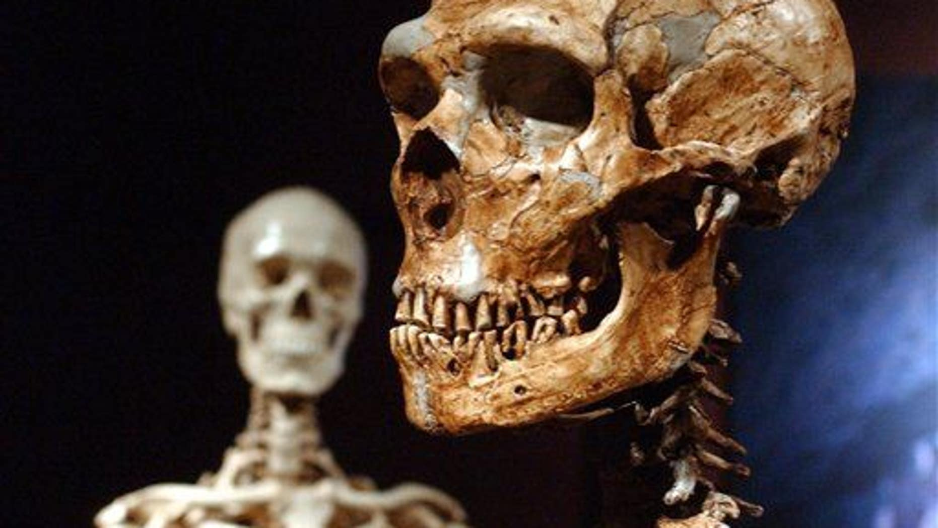 This Jan. 8, 2003 file photo shows a reconstructed Neanderthal skeleton, right, and a modern human version of a skeleton, left, on display at the Museum of Natural History.