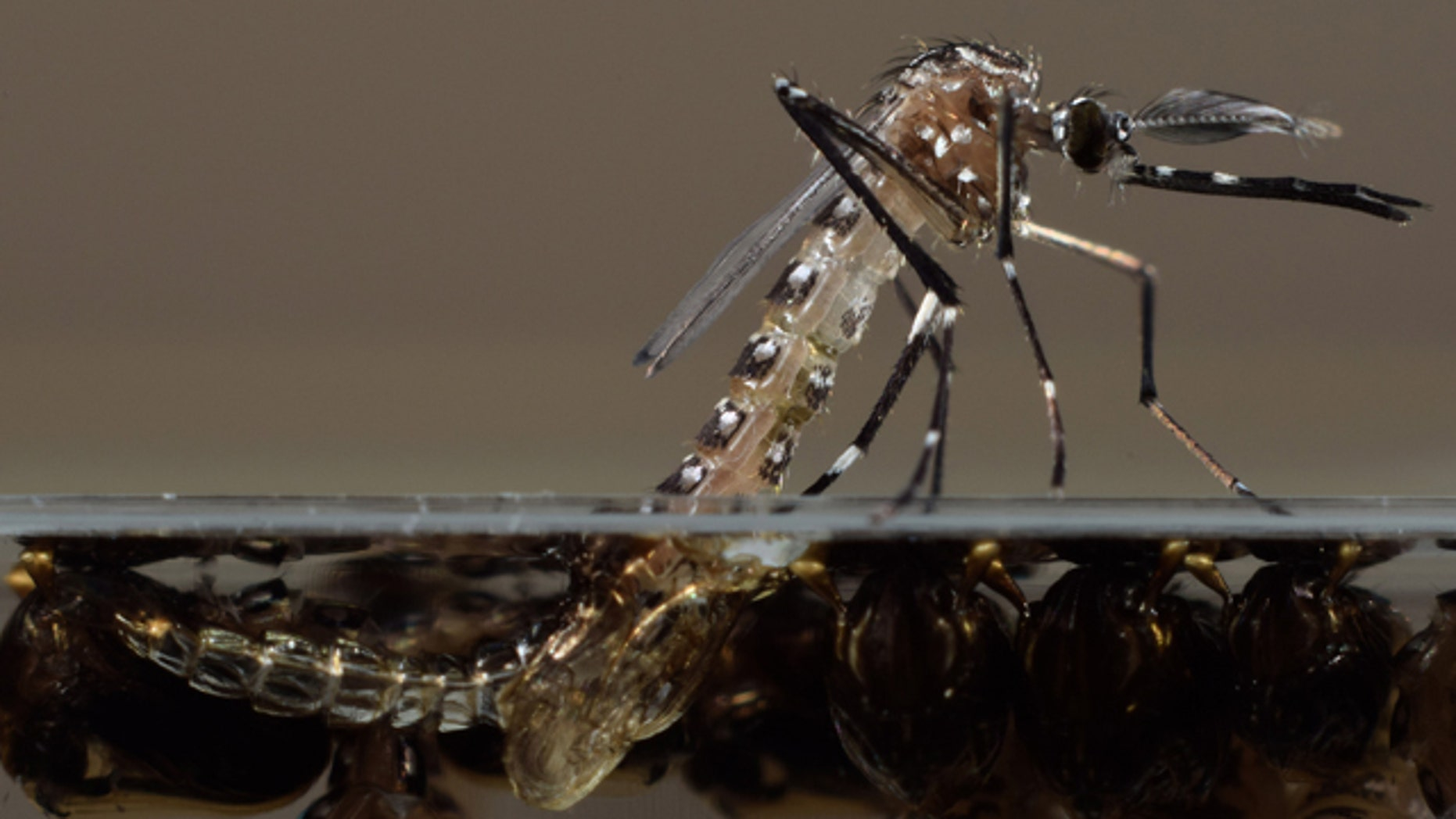 This undated photo made available by Oxitec shows a genetically modified Aedes aegypti mosquito in their U.K. lab. The U.S. Food and Drug Administration is considering releasing the non-biting male Aedes aegypti mosquitoes modified by Oxitec to pass along a birth defect to their progeny, thus killing off the next generation of the mosquitoes that can carry dengue and chikungunya. The FDA is planning to release the mosquitos in a neighborhood of 444 homes near Key West, Fla. (AP Photo/Oxitec, Derric Nimmo)