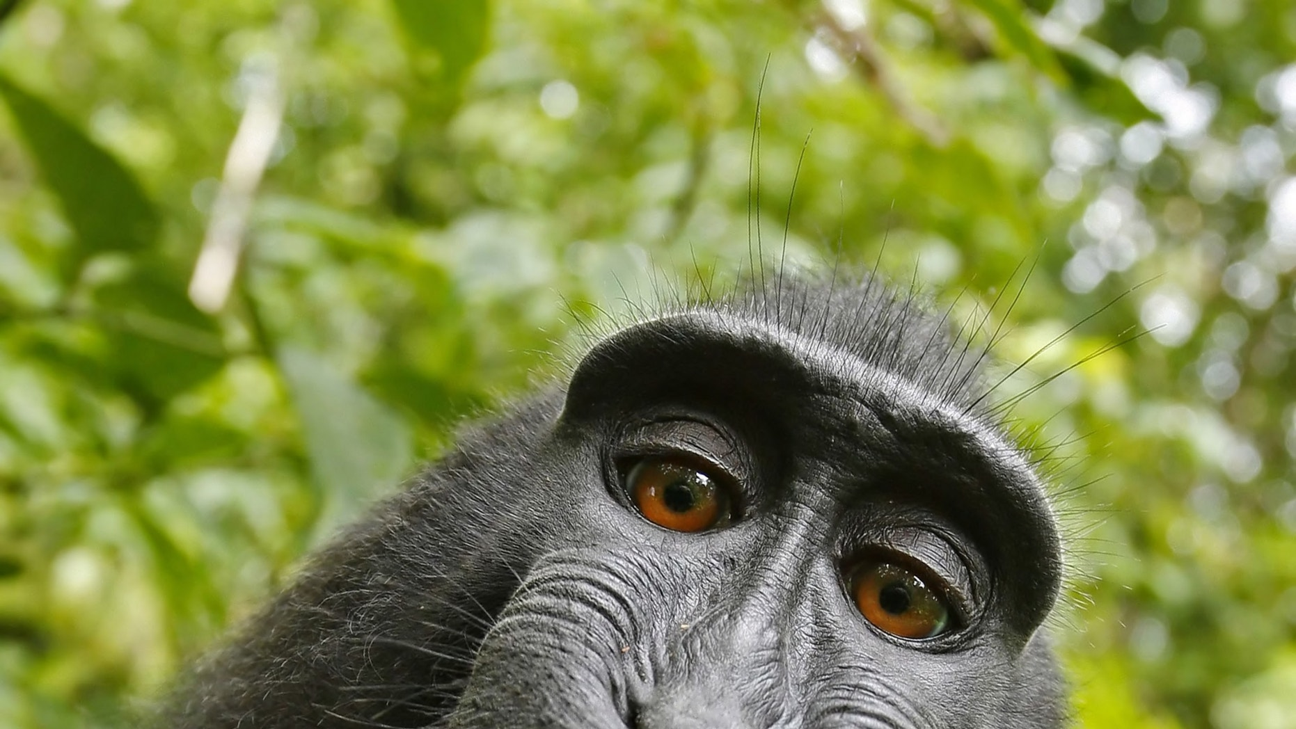 """This 2011 photo provided by People for the Ethical Treatment of Animals (PETA) shows a selfie taken by a macaque monkey on the Indonesian island of Sulawesi with a camera that was positioned by British nature photographer David Slater. The photo is part of a court exhibit in a lawsuit filed by PETA in San Francisco on Tuesday, Sept. 22, 2015, which says that the monkey, and not Slater, should be declared the copyright owner of the photos. Slater has argued that, as the """"intellect behind the photos,"""" he is the copyright owner since he set up the camera so that such a photo could be produced if a monkey approached it a pressed the button."""