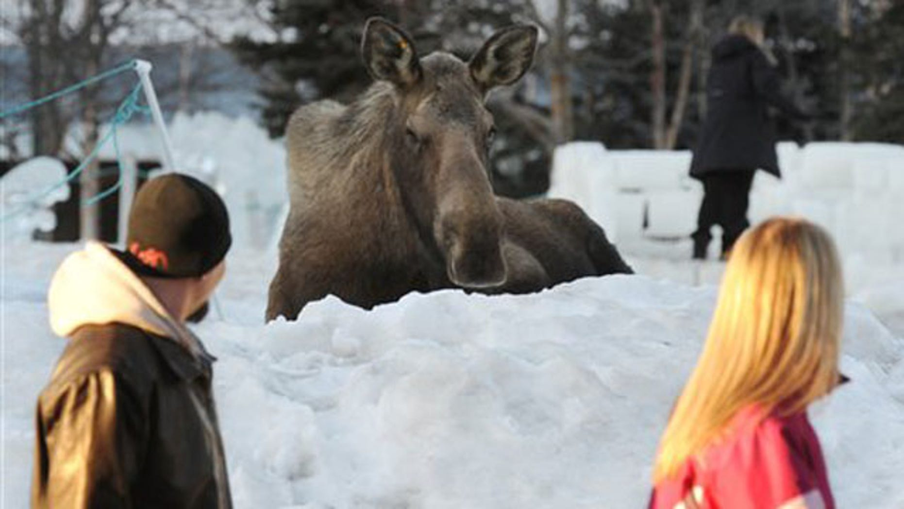 People walk past a moose resting in Town Sqaure Park after it reportedly attacked a woman who approached the moose to pet it on Monday, March 7, 2011 in Anchorage, Alaska.    Police are warning people to leave the animals alone after a moose kicked a woman in an Anchorage park after she tried to pet it. Police spokeswoman Anita Shell says people need to give the creatures their space.