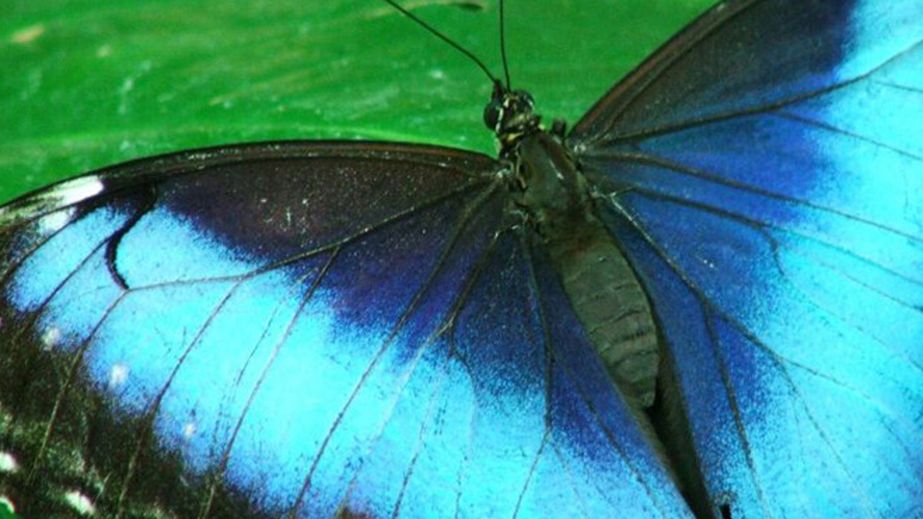 Nanotechnology emulates a South American insect's wings.