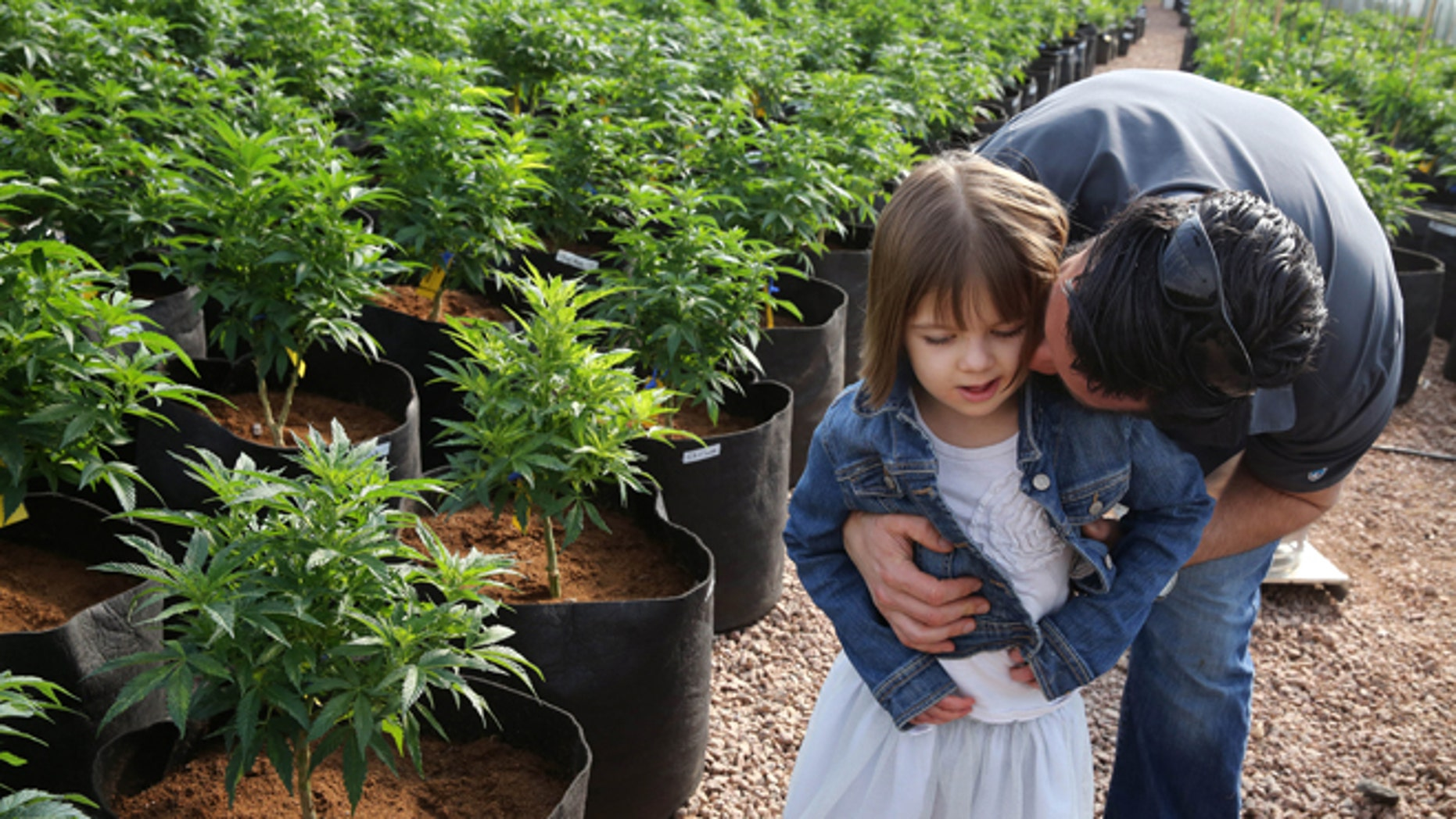 In this Feb. 7, 2014 photo, Matt Figi hugs and tickles his once severely-ill 7-year-old daughter Charlotte, as they wander around inside a greenhouse for a special strain of medical marijuana known as Charlotte's Web, which was named after the girl early in her treatment, in a remote spot in the mountains west of Colorado Springs, Colo. A few years ago, Charlotte's doctors were out of ideas to help her. Suffering from a rare disorder known as Dravets syndrome, Charlotte had as many as 300 grand mal seizures a week, was confined to a wheelchair, went into repeated cardiac arrest and could barely speak. Now Charlotte is largely seizure-free, able to walk, talk and feed herself, with her parents attributing her dramatic improvement to this strain of medical cannabis. (AP Photo/Brennan Linsley)
