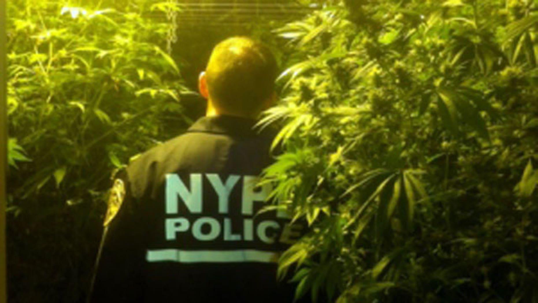 January 31, 2012: Scene of raid on Bronx building that contained 600 marijuana plants.