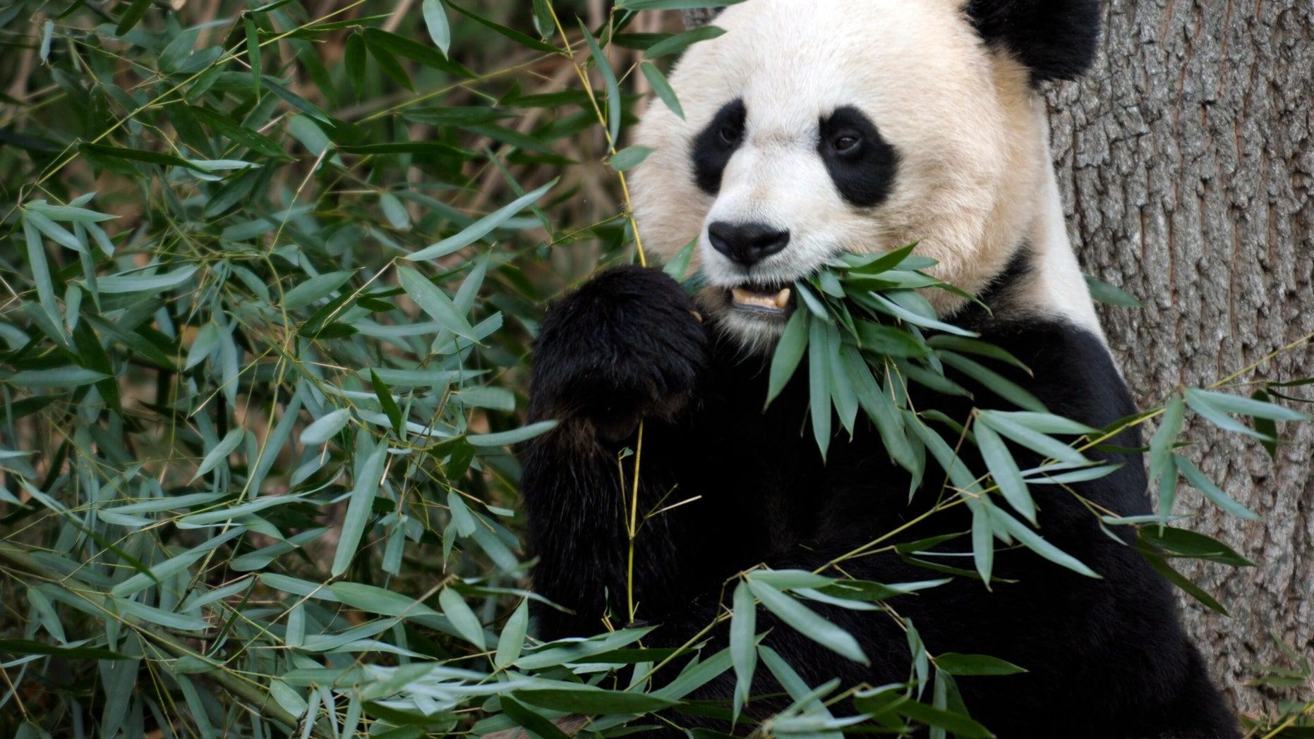 Dec. 19, 2011: File photo shows Mei Xiang, the female giant panda at the Smithsonian's National Zoo in Washington.