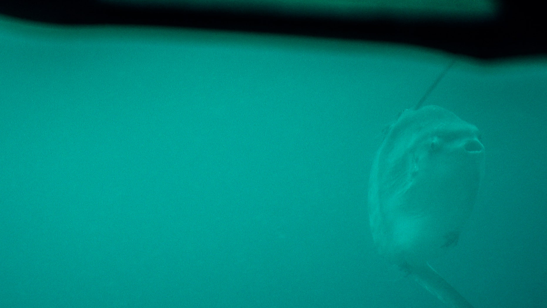 Scientists aboard the E/V Nautilus spotted the world's largest bony fish, the Mola mola.