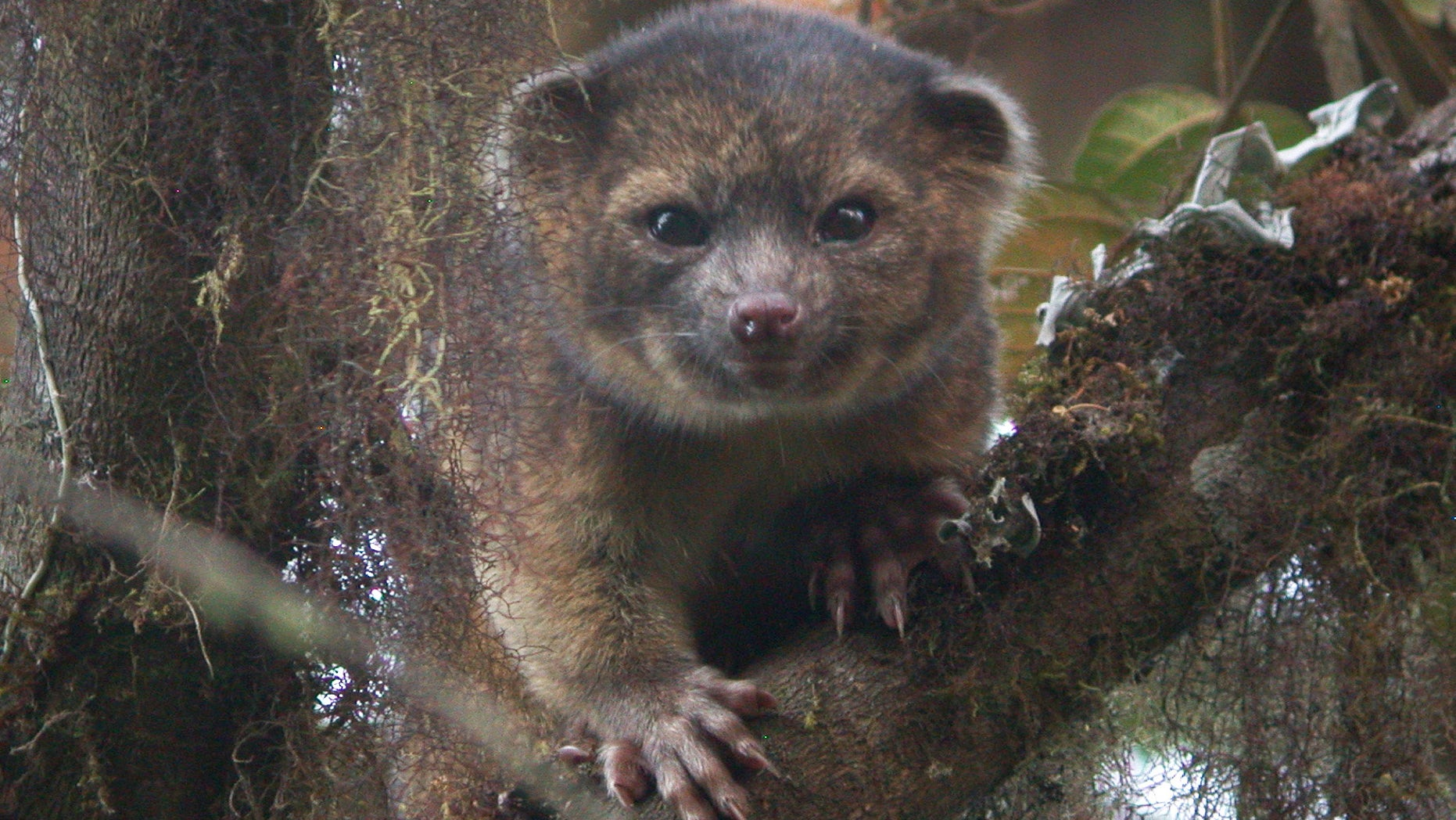 This undated handout photo provided by Mark Gurney shows a olinguito. Imagine a raccoon with a teddy bear face that is so cute it's hard to resist, let alone overlook. But somehow science did _ until now. Researchers Thursday announced a rare discovery of a new species of a mammal that belongs to the grouping of large creatures that include dogs, cats and bears: the olinguito. The raccoon-sized critters leap through the trees of the cloud forests of Ecuador and Colombia at night, according to a Smithsonian researcher who has spent the past decade tracking them. (AP Photo/Mark Gurney)