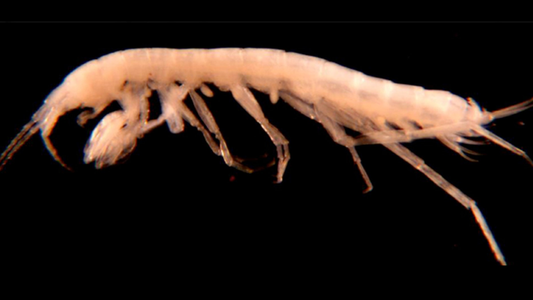 Apr. 17, 2012: A newly discovered species of freshwater amphipod was recently found in a subterranean pool inside a gypsum cave near Carlsbad, N.M.