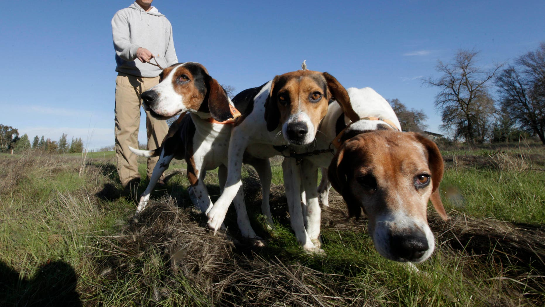 Dec. 18, 2012: In this photo, Josh Brones, president of the California Houndsmen for Conservation, walks his hunting dogs, Dollar, left, Sequoia, center and Tanner right, near his home in Wilton, Calif.