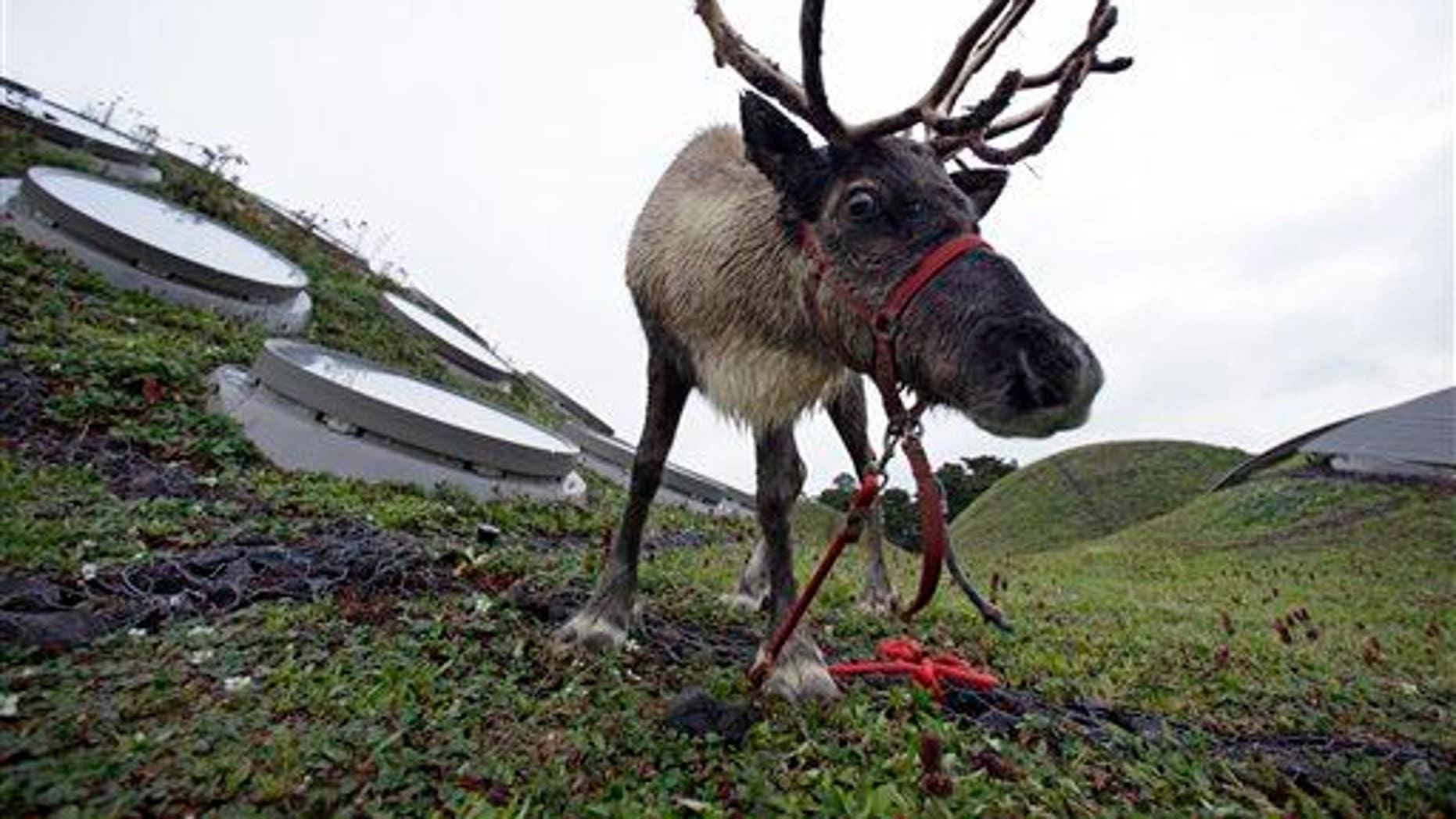 A reindeer grazes in San Francisco.