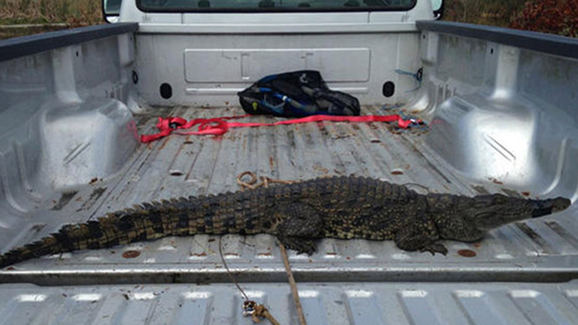 The crocodile was taken to the Everglades Alligator farm in Homestead, where it will remain while officials determine its fate.
