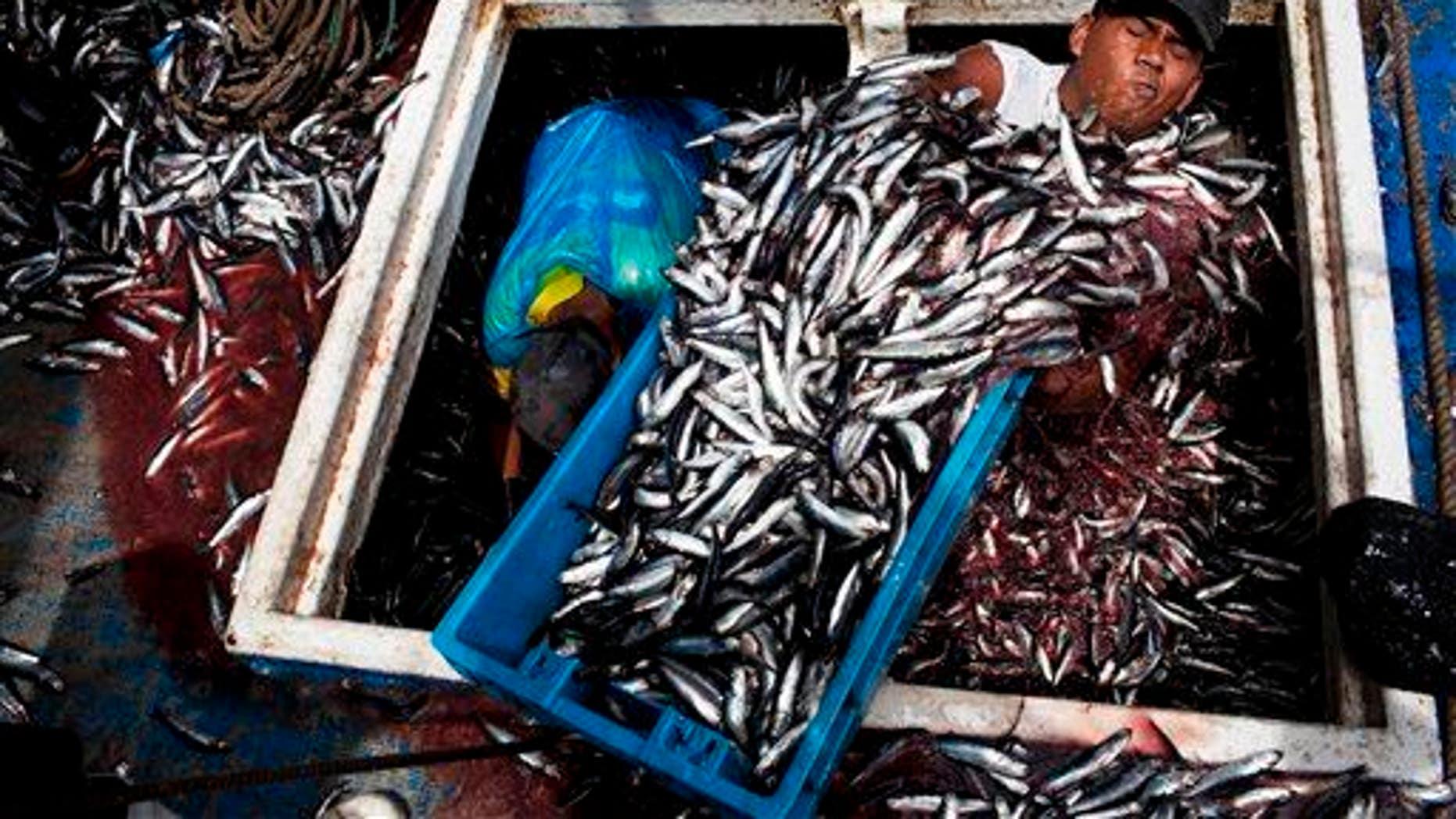 In this Dec. 7, 2012 photo, Marvin Vega unloads a crate of anchovies in Peru.