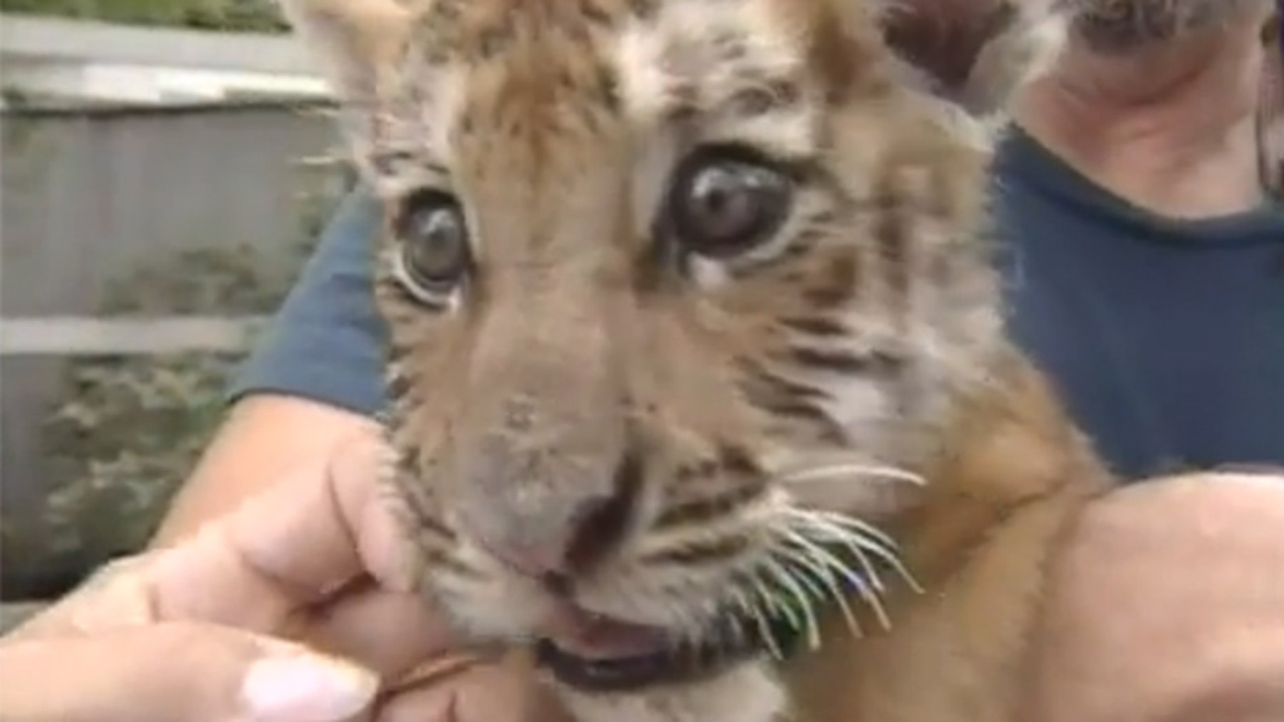 A tiger cub named Obie is the football mascot at Massillon Washington High School in Ohio.