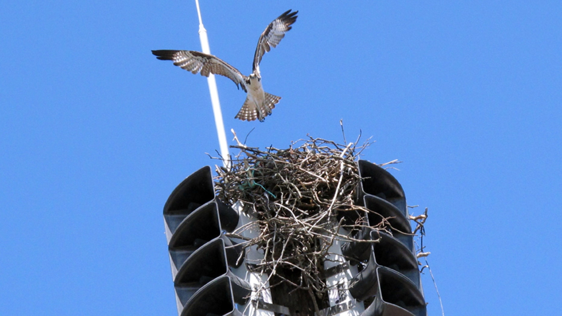 An osprey takes off from its nest inside a fire siren in Spring Lake N.J. on Tuesday May 6, 2014. The Jersey shore town has been forced to turn the siren off until fall to avoid disturbing the bird and any chicks it may have. First responders are notified of emergencies using pagers or cell phones. (AP Photo/Wayne Parry)