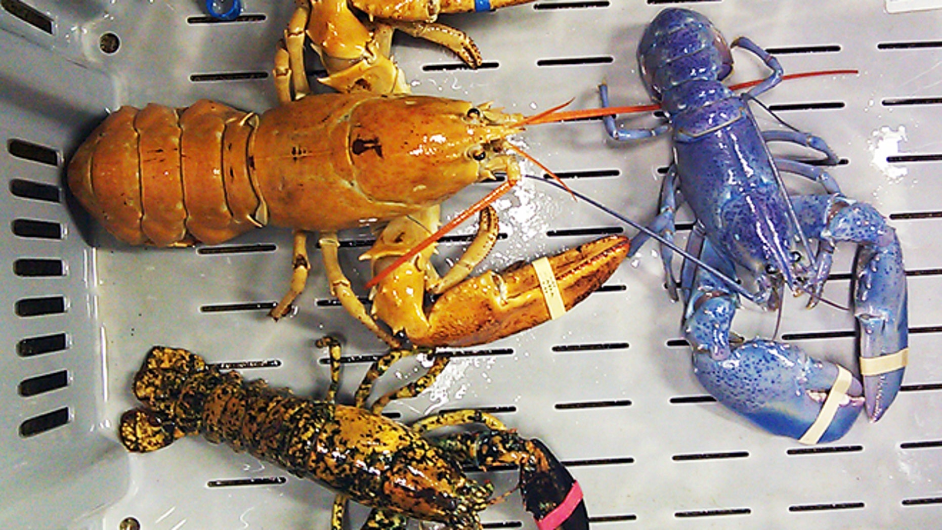 A bright orange, left, a bright blue, right, and a calico lobster at New Meadows Lobster in Portland, Maine.