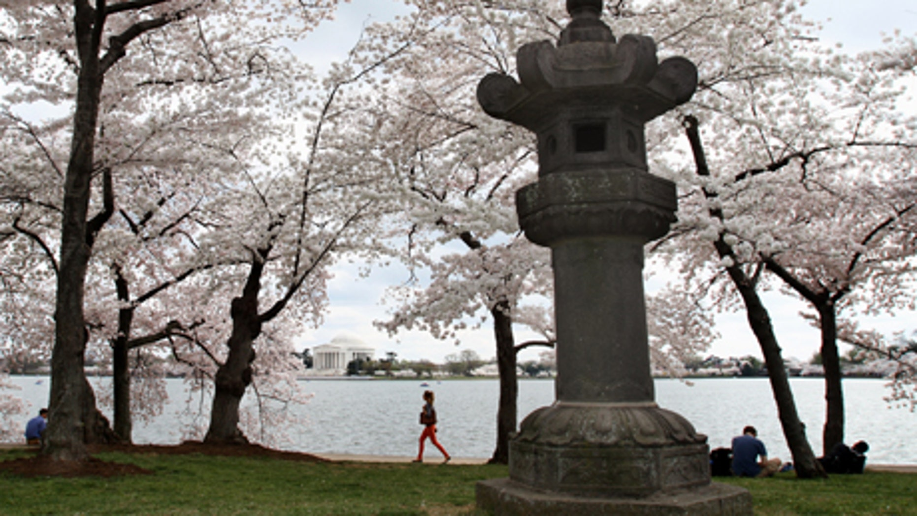 March 19, 2012: Some of the oldest cherry blossom trees can be found in the area near this traditional Japanese stone lantern along the tidal basin in Washington.