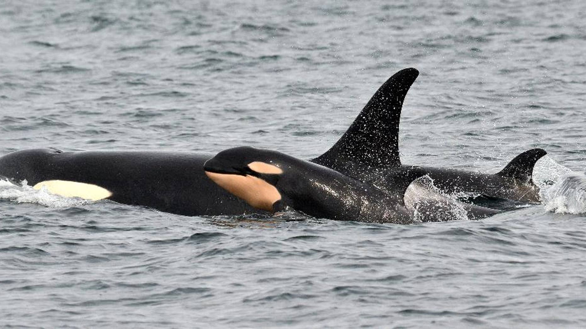 In this photo taken Monday, March 30, 2015, and provided by the Pacific Whale Watch Association, a newborn orca whale swims alongside an adult whale, believed to be the mother, in the Salish Sea waters off Galiano Island, British Columbia. The endangered population of killer whales that spend time in Washington state waters is experiencing a baby boom with the fourth baby orca documented this winter. The newborn was spotted Monday by whale-watching crews and a naturalist in the waters of British Columbia, according to the Pacific Whale Watch Association, which represents 29 whale-watching operators in Washington and British Columbia. The orca was swimming with other members of the J-pod, one of three families of orcas that are protected in Washington and Canada. (AP Photo/Maya's Legacy Whale Watching, Jeanne Hyde)